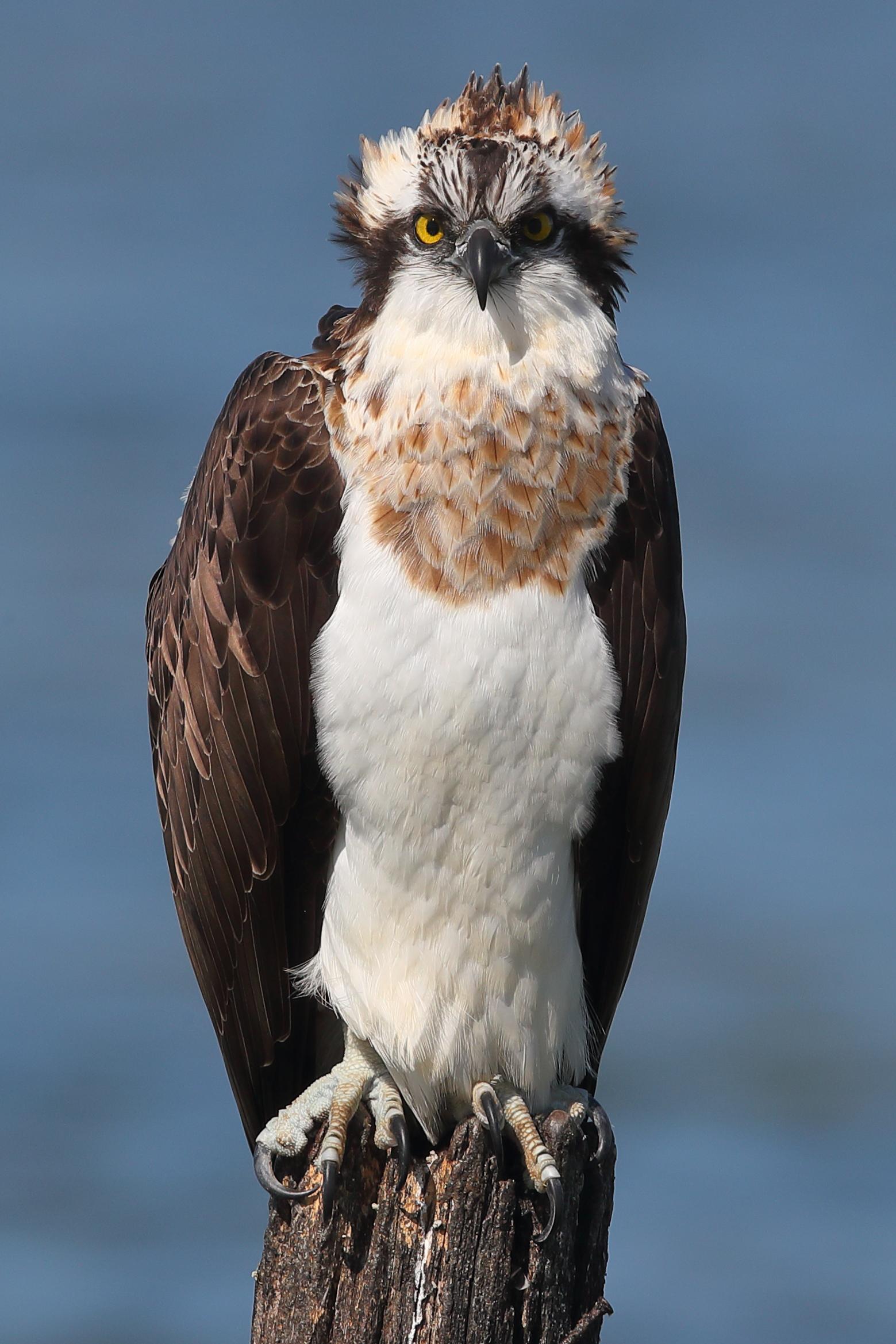 Falco pescatore femmina...