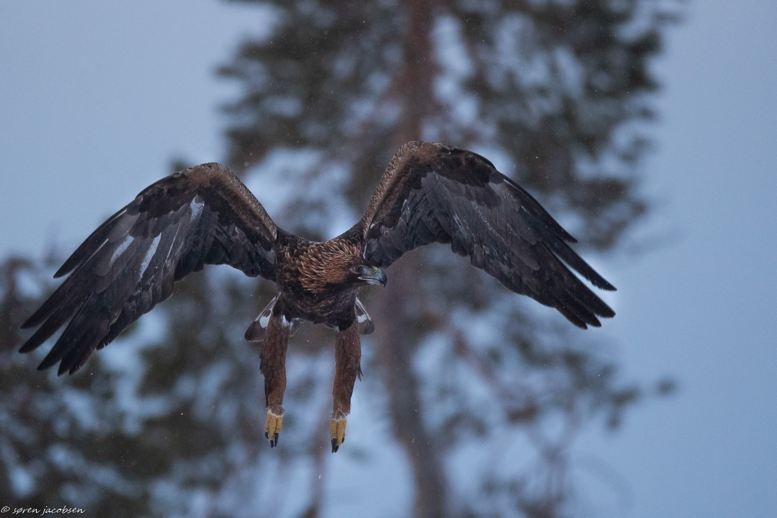 Golden Eagle!...