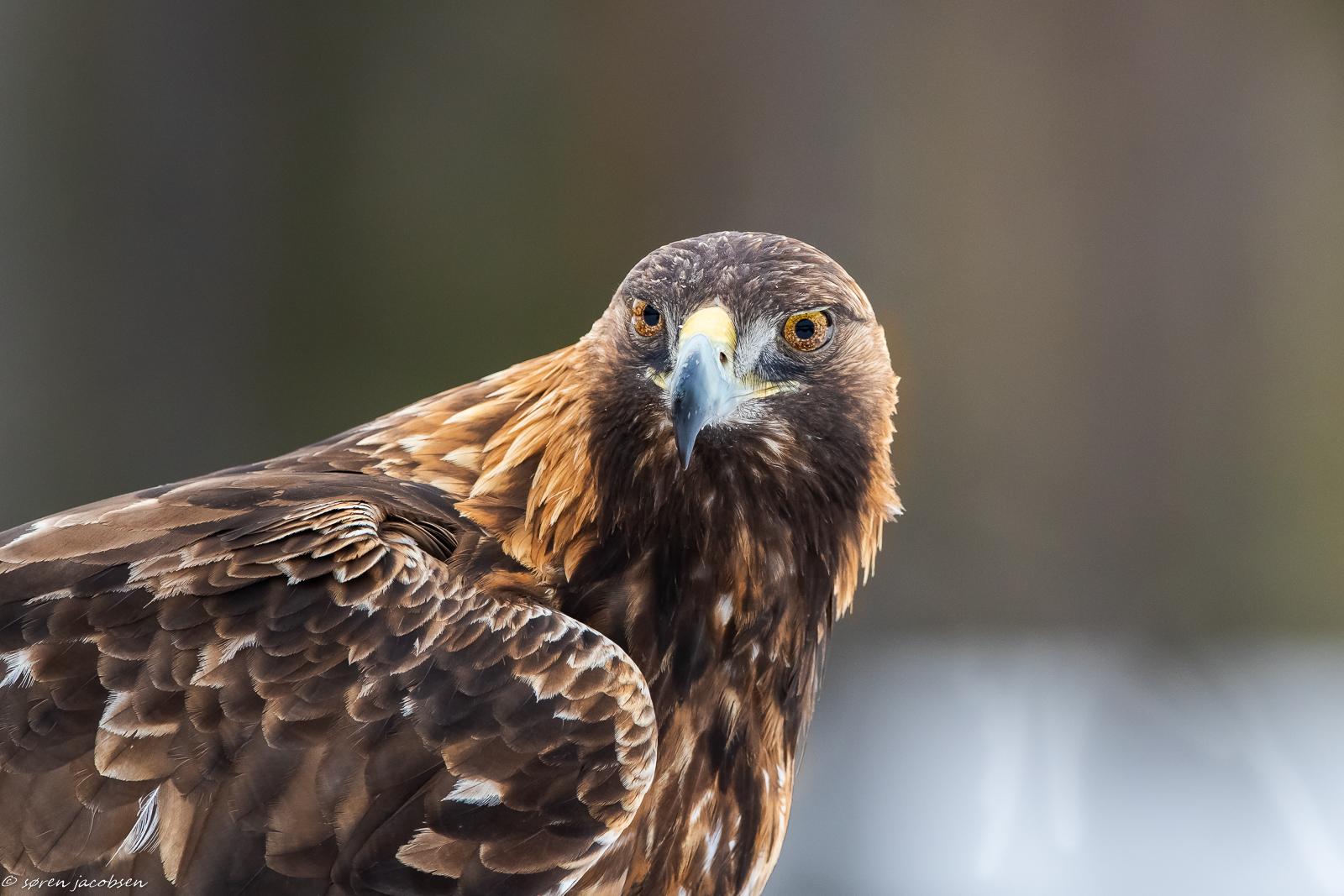 Golden Eagle! Another portrait!...