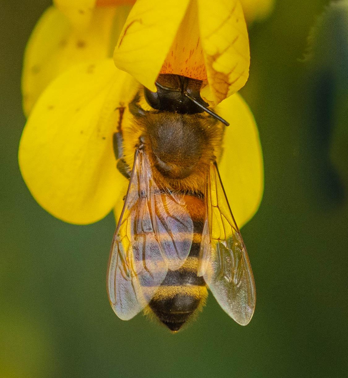Bee on Flower...