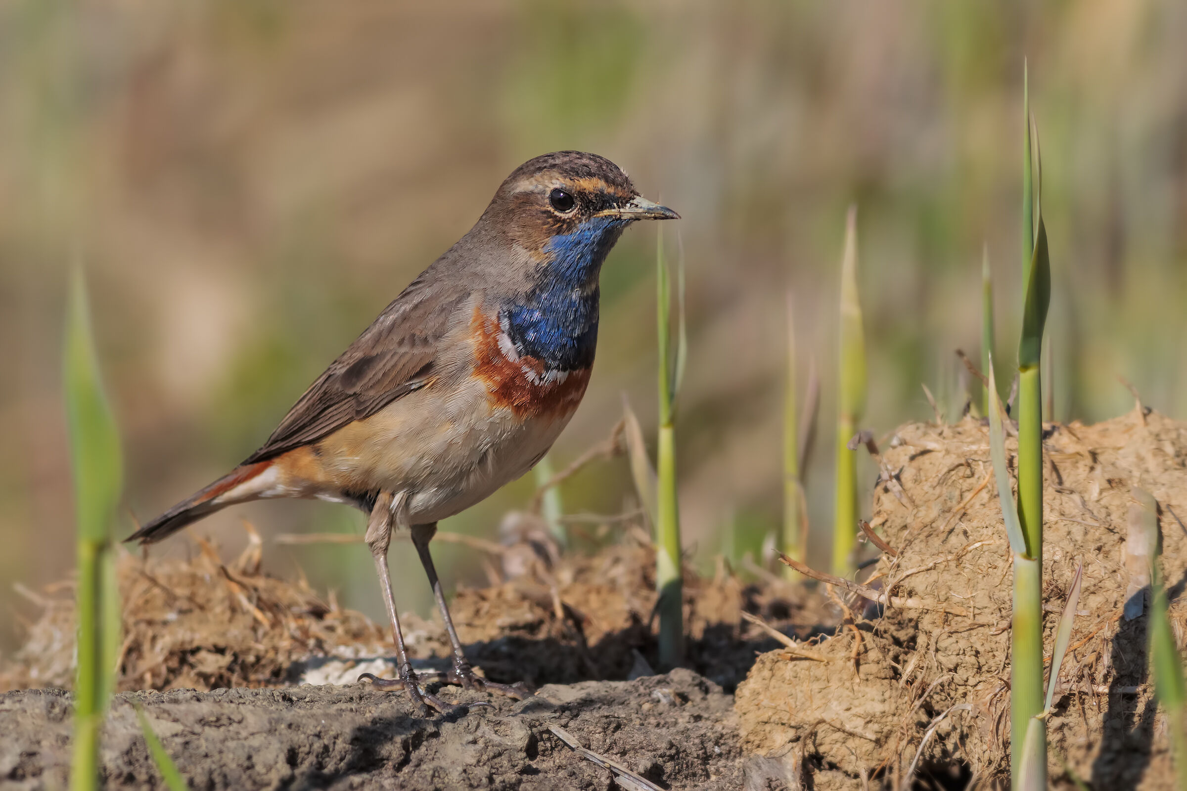 The Bluethroat and the spring...