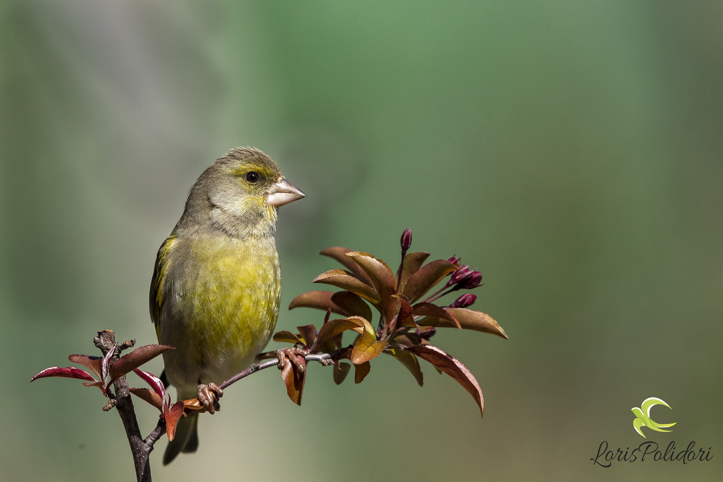 A greenfinch ...