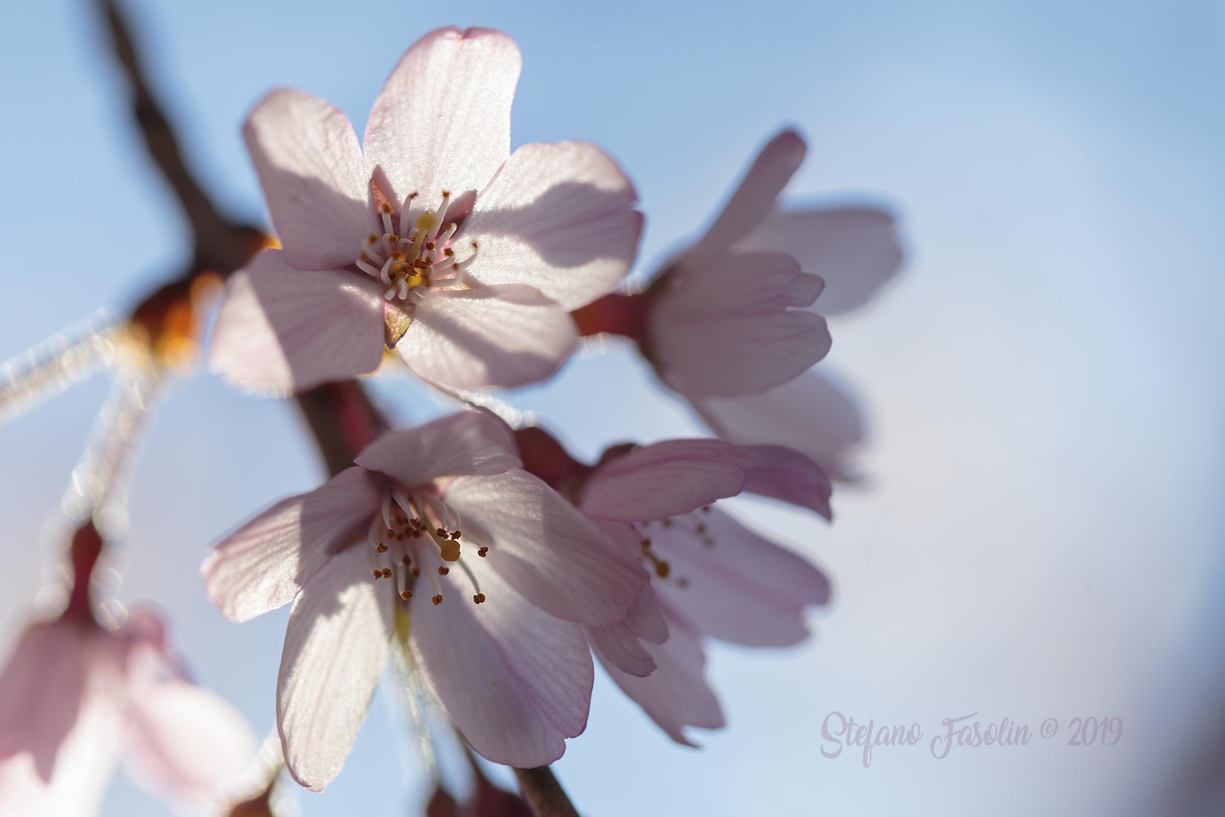Japanese Cherry...