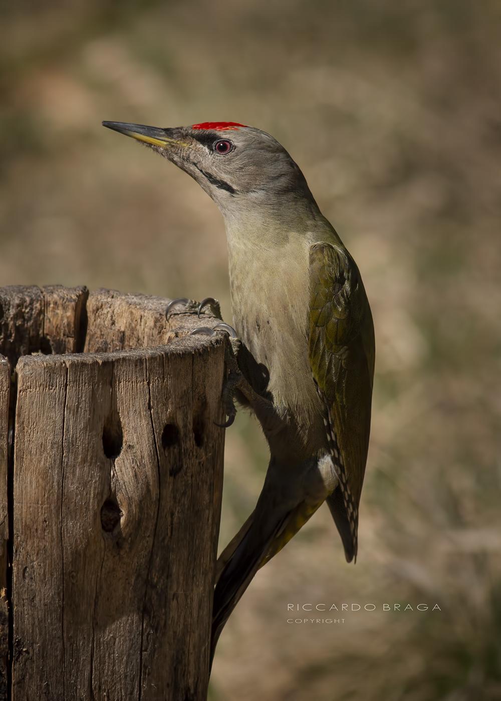 Grey Woodpeckers...