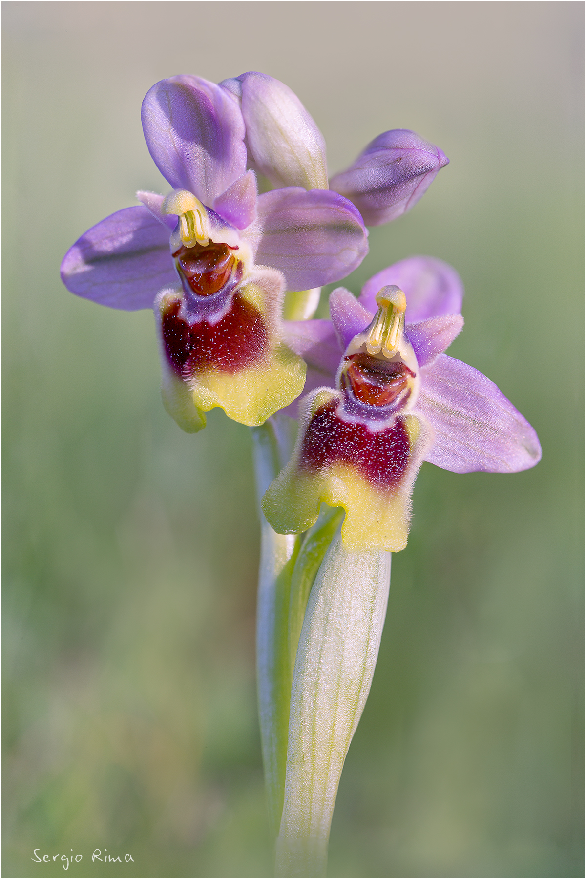 Ophrys Ophrys...