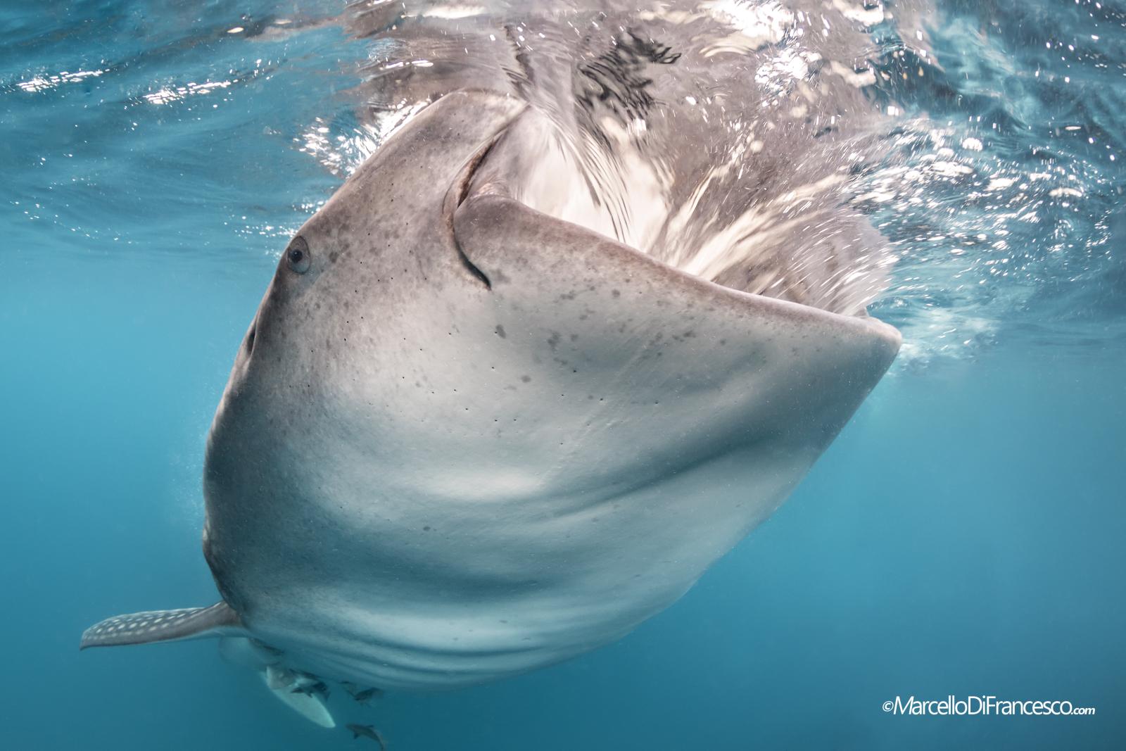 Whale Shark (Rhincodon typus) Triton Bay-West Papua...