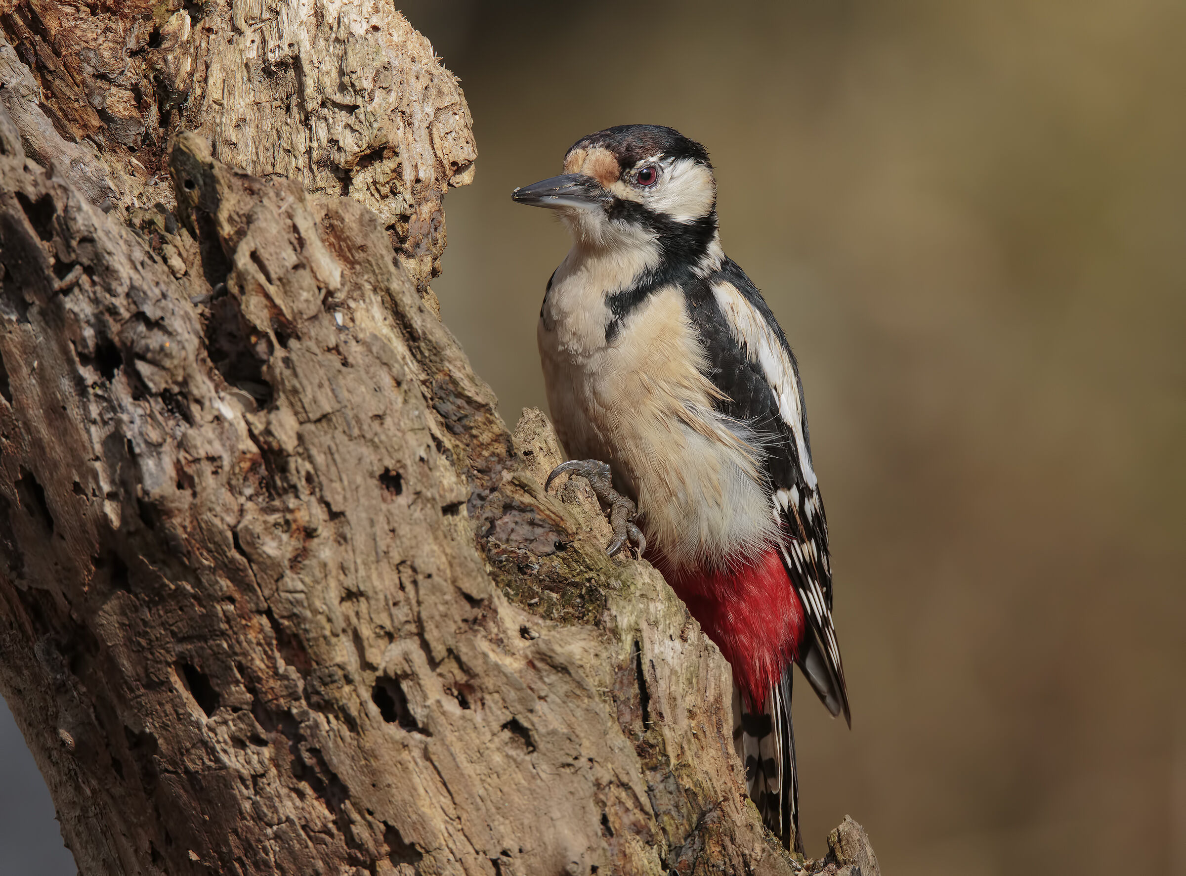 Big Red Woodpeckers (F)...