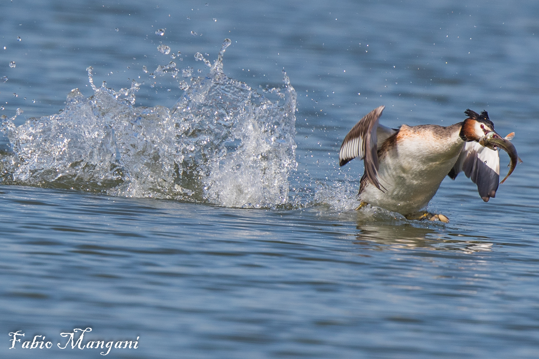 Crested with Prey...