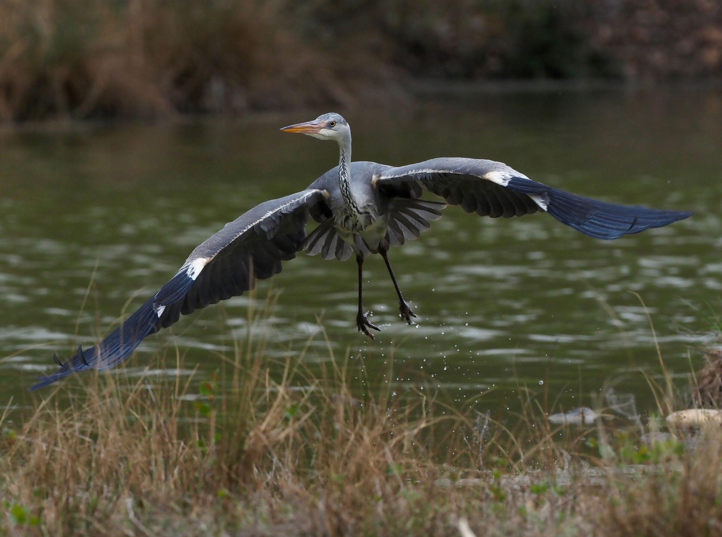 Grey Heron ...
