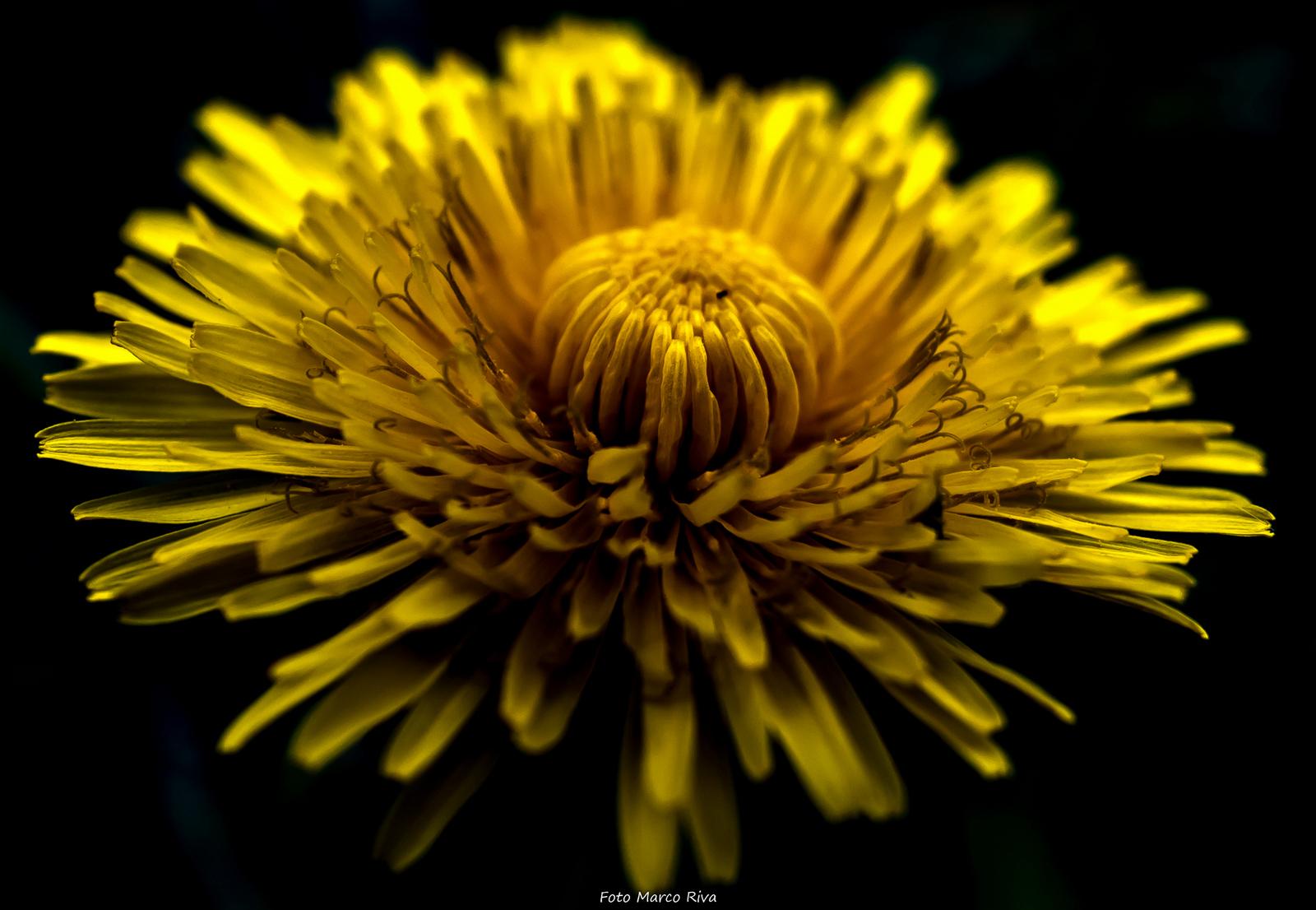 Dandelion...