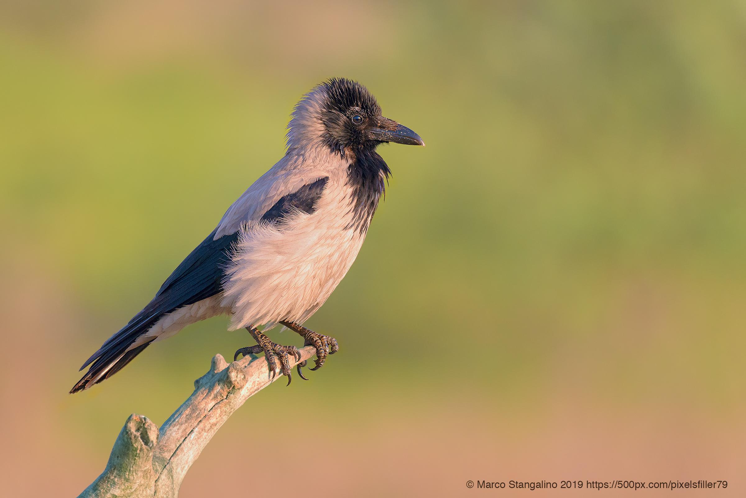 Kinky Head Crow...