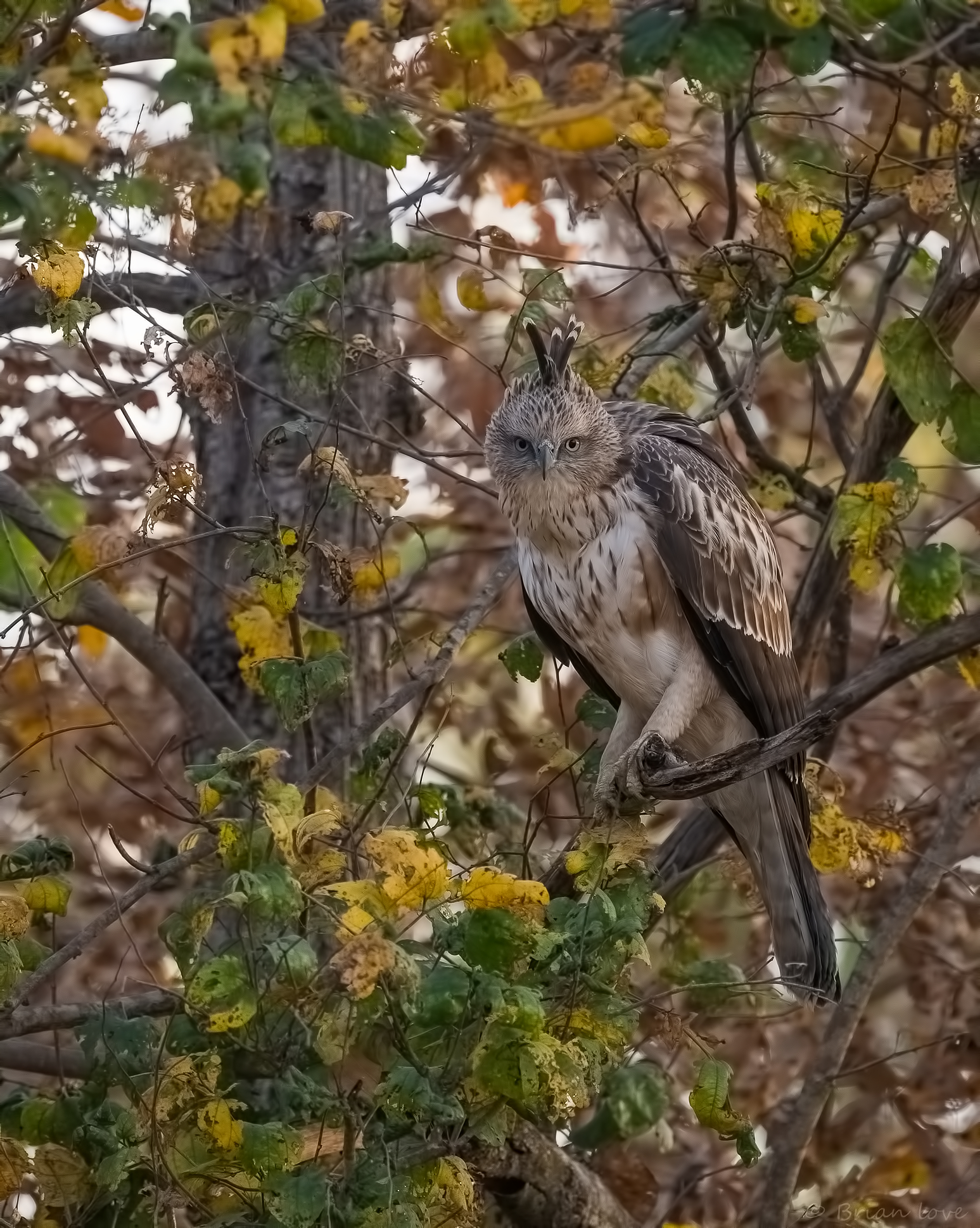 Changeable Hawk-eagle (Nisaetus cirrhatus)...