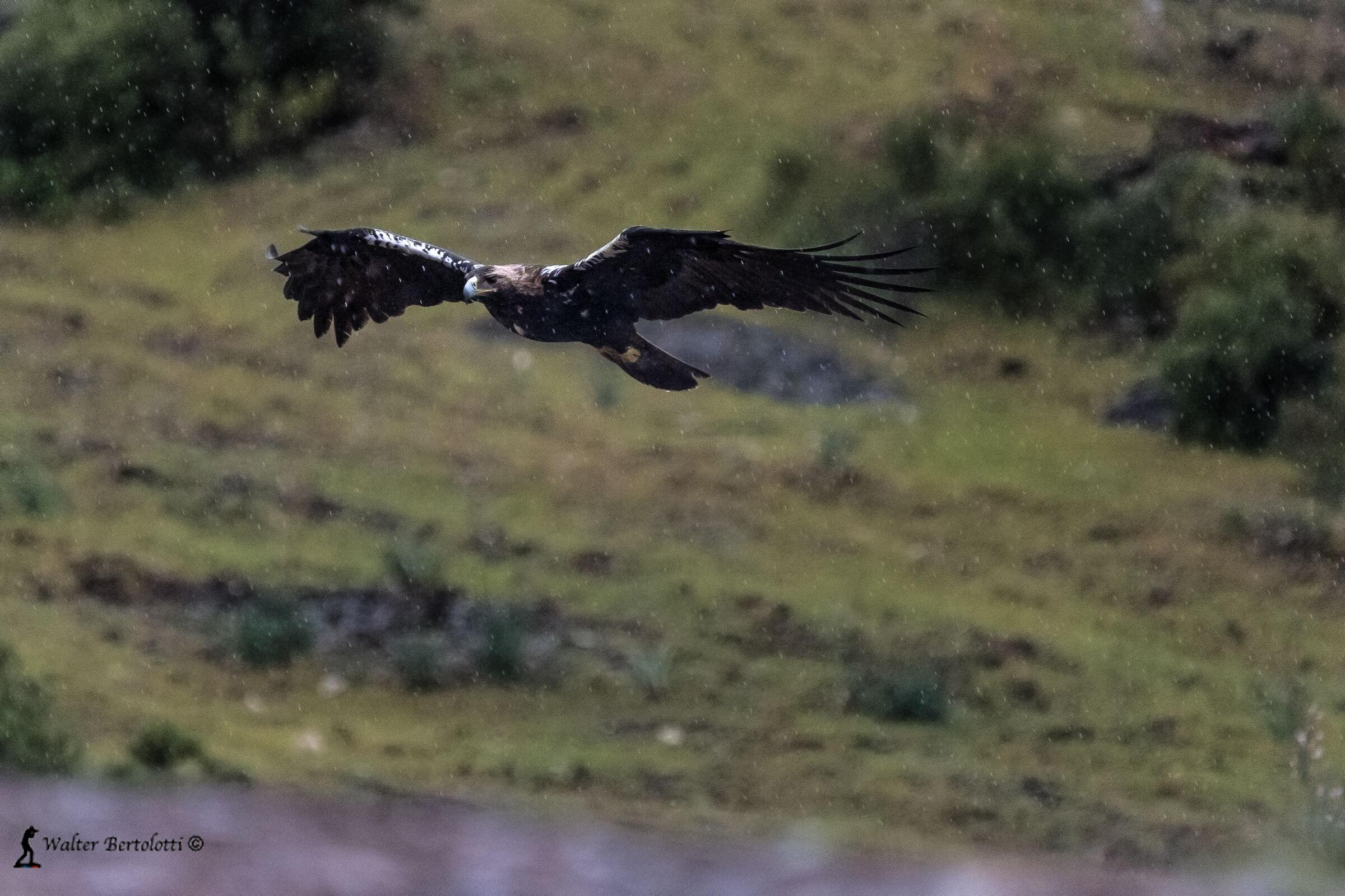 Iberian Imperial Eagle in the Rain...