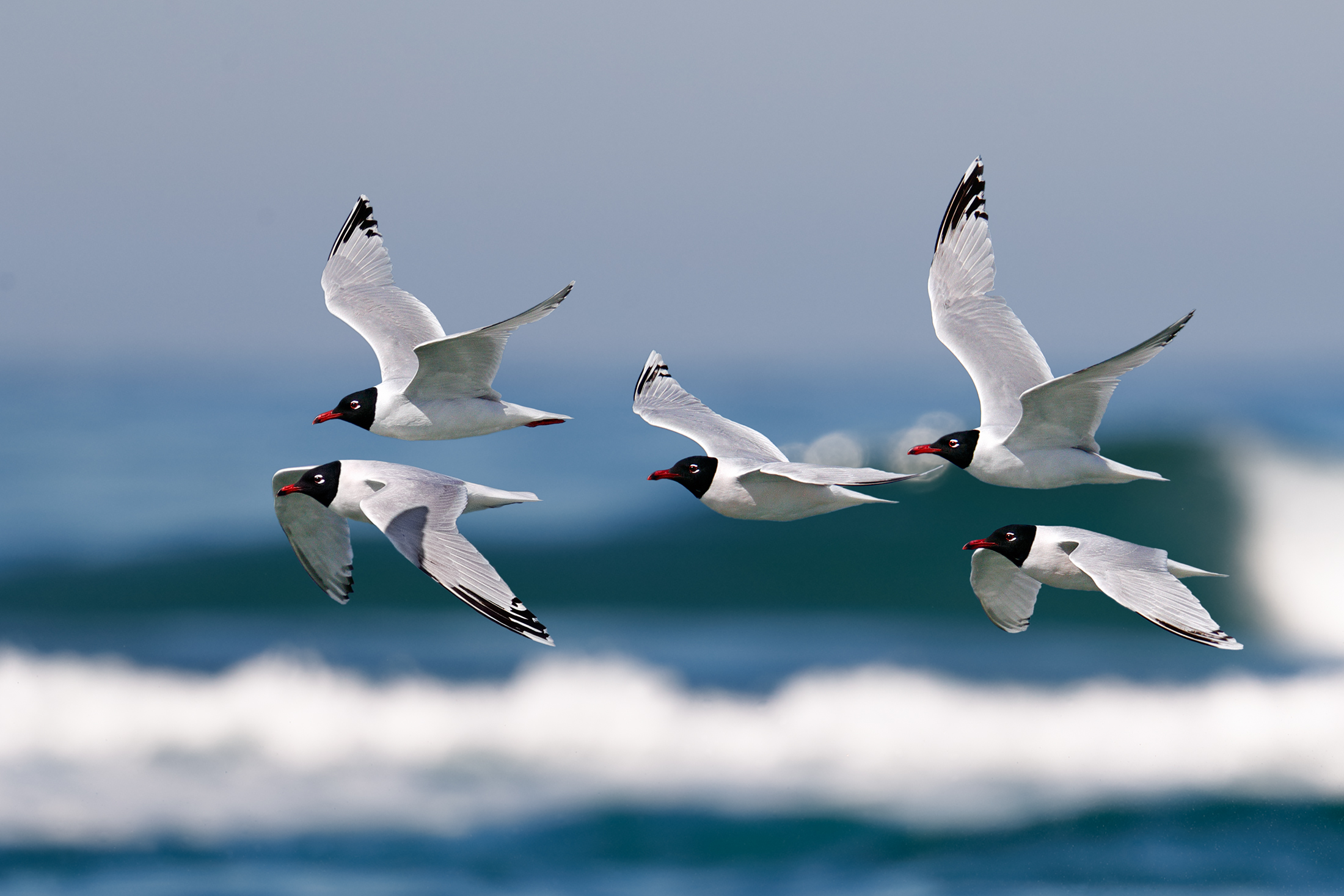 Coral Seagulls...