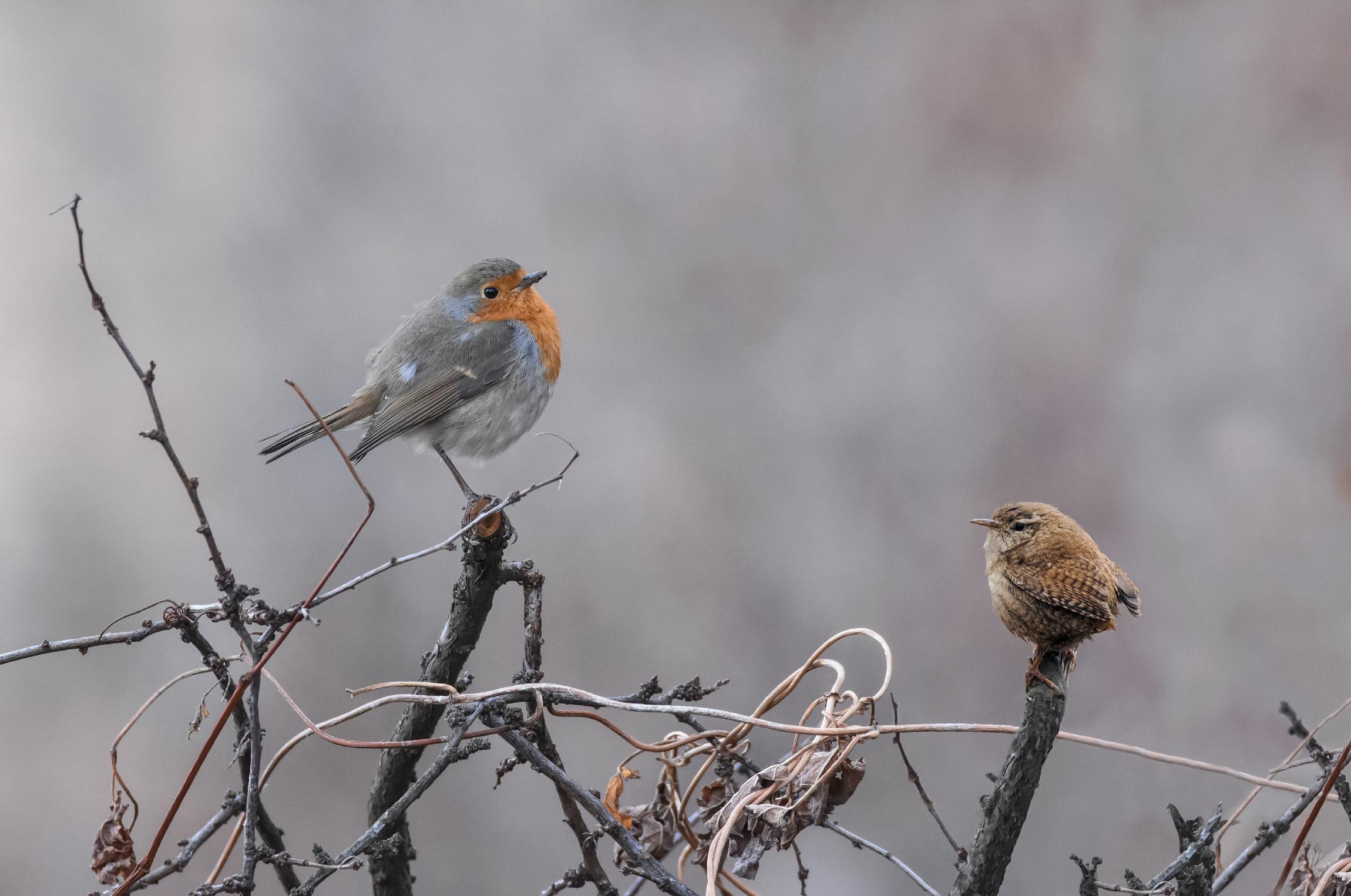 Robin vs. Wren...