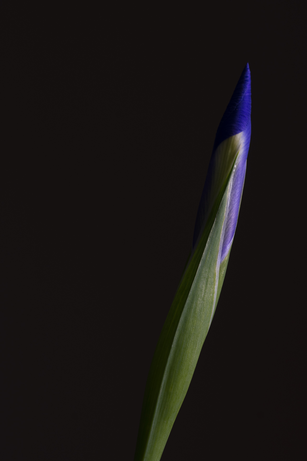 Iris Bud...