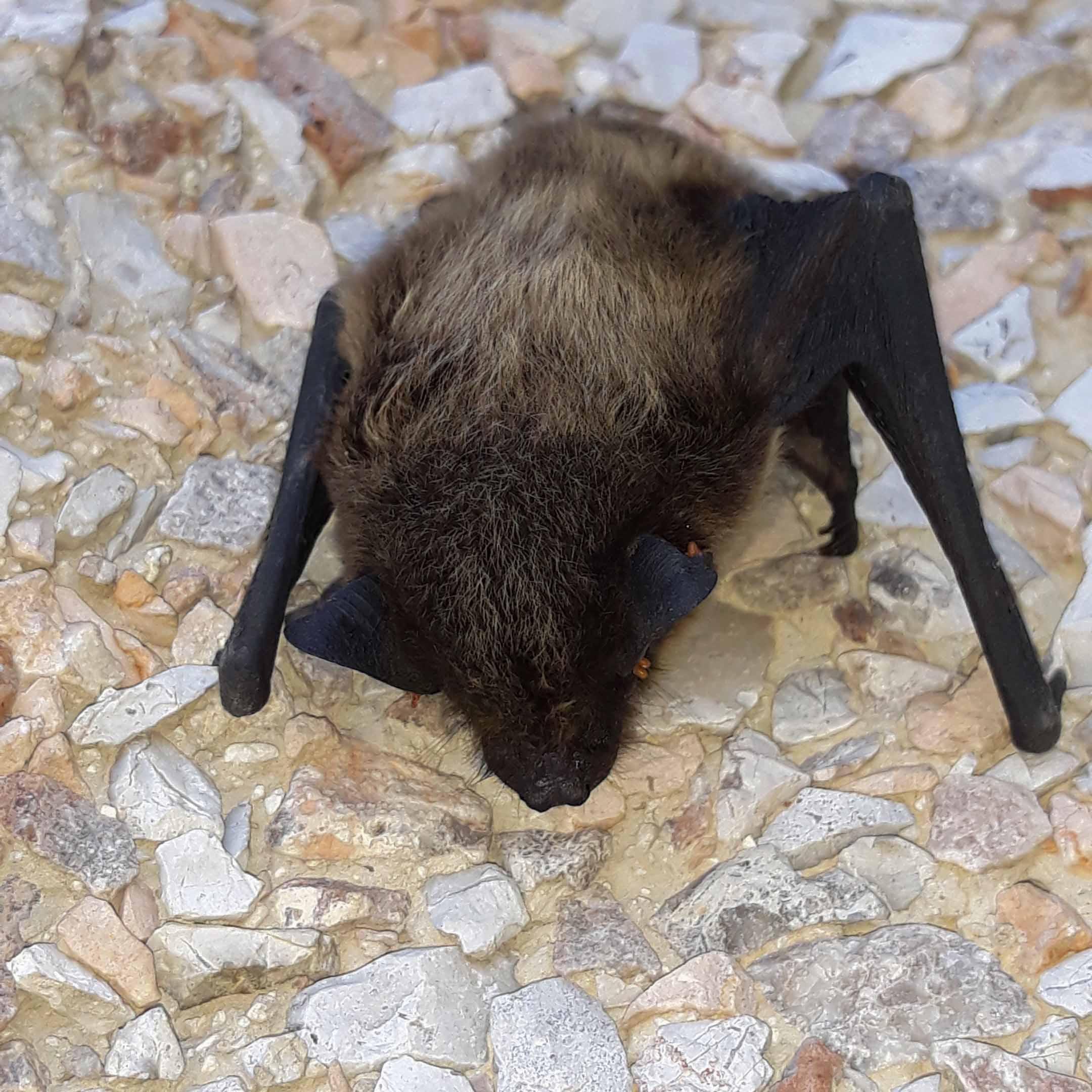 Dwarf Bat ...