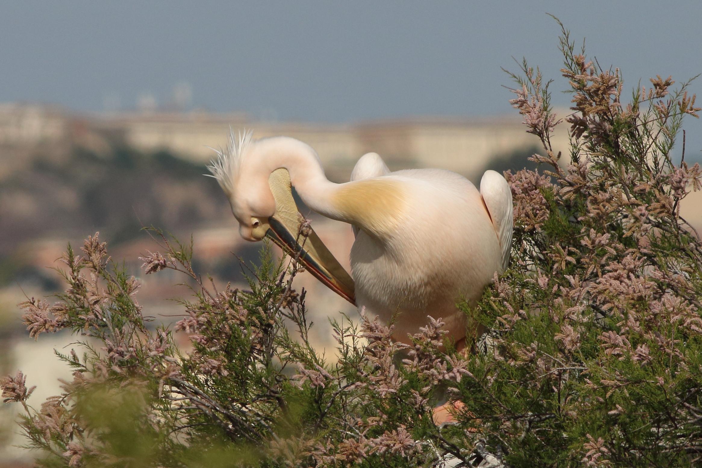 Romantic Pelican...