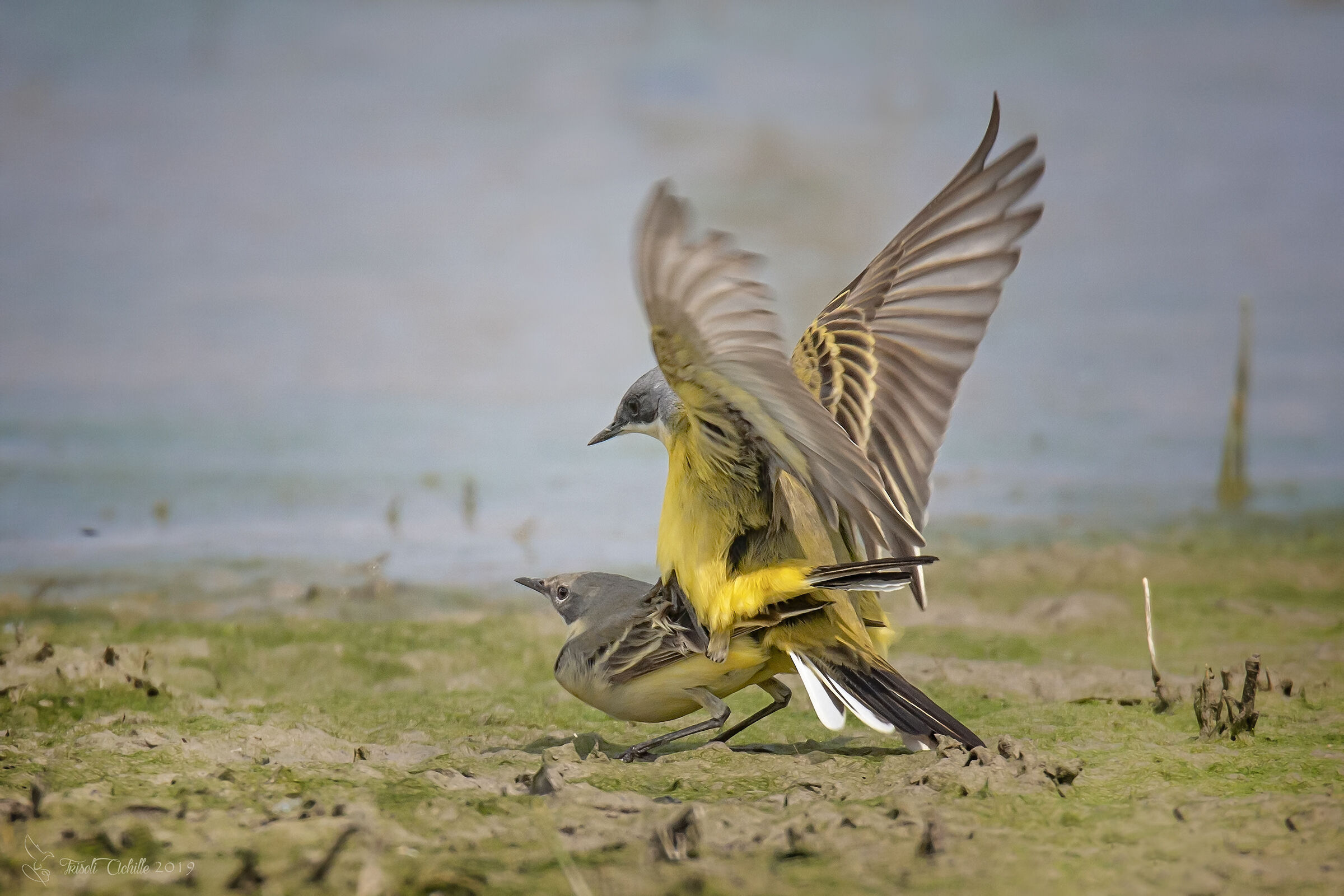Wagtails...