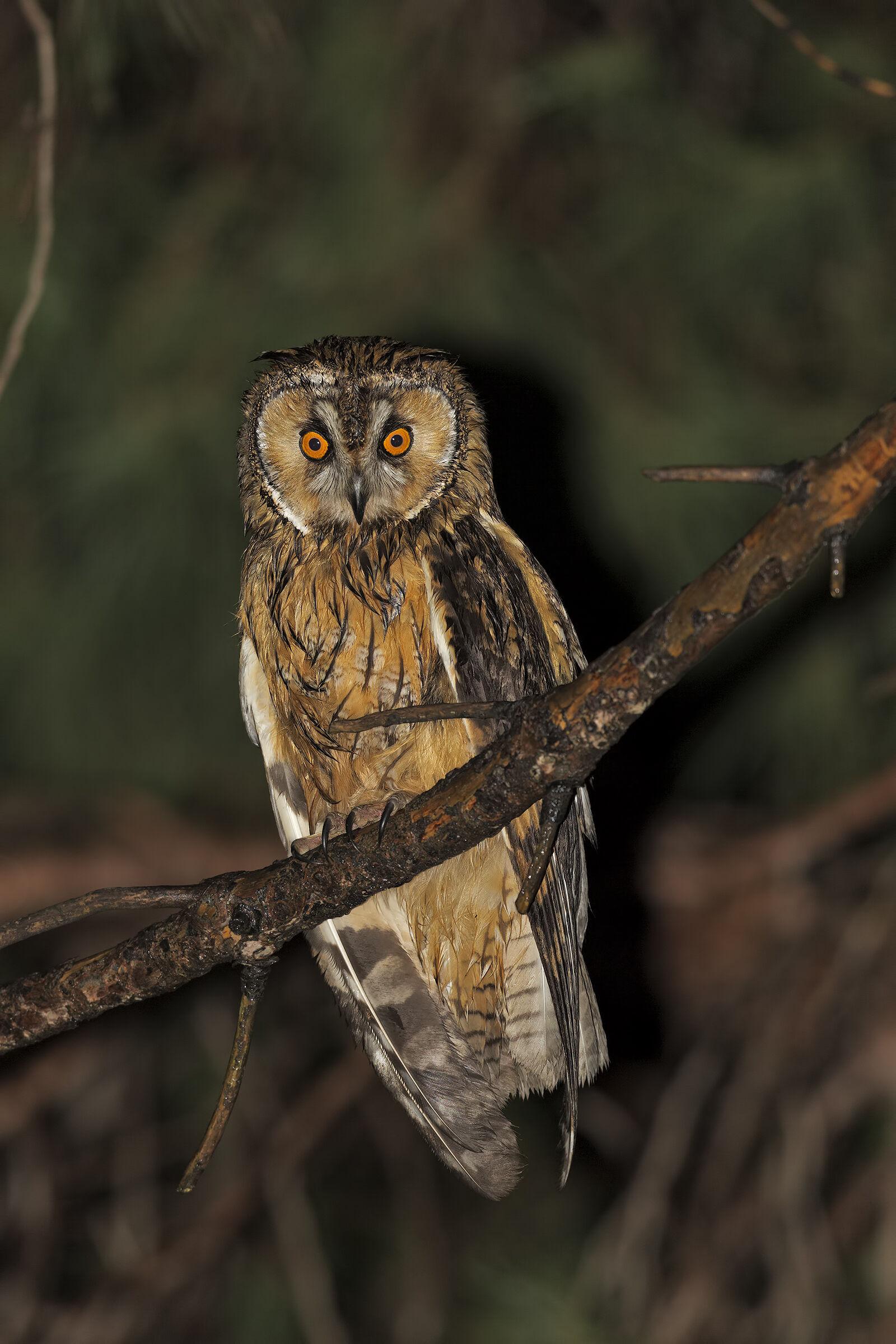 Common Owl...