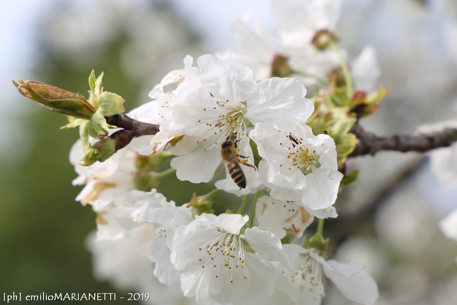 Bee on Cherry blossoms...