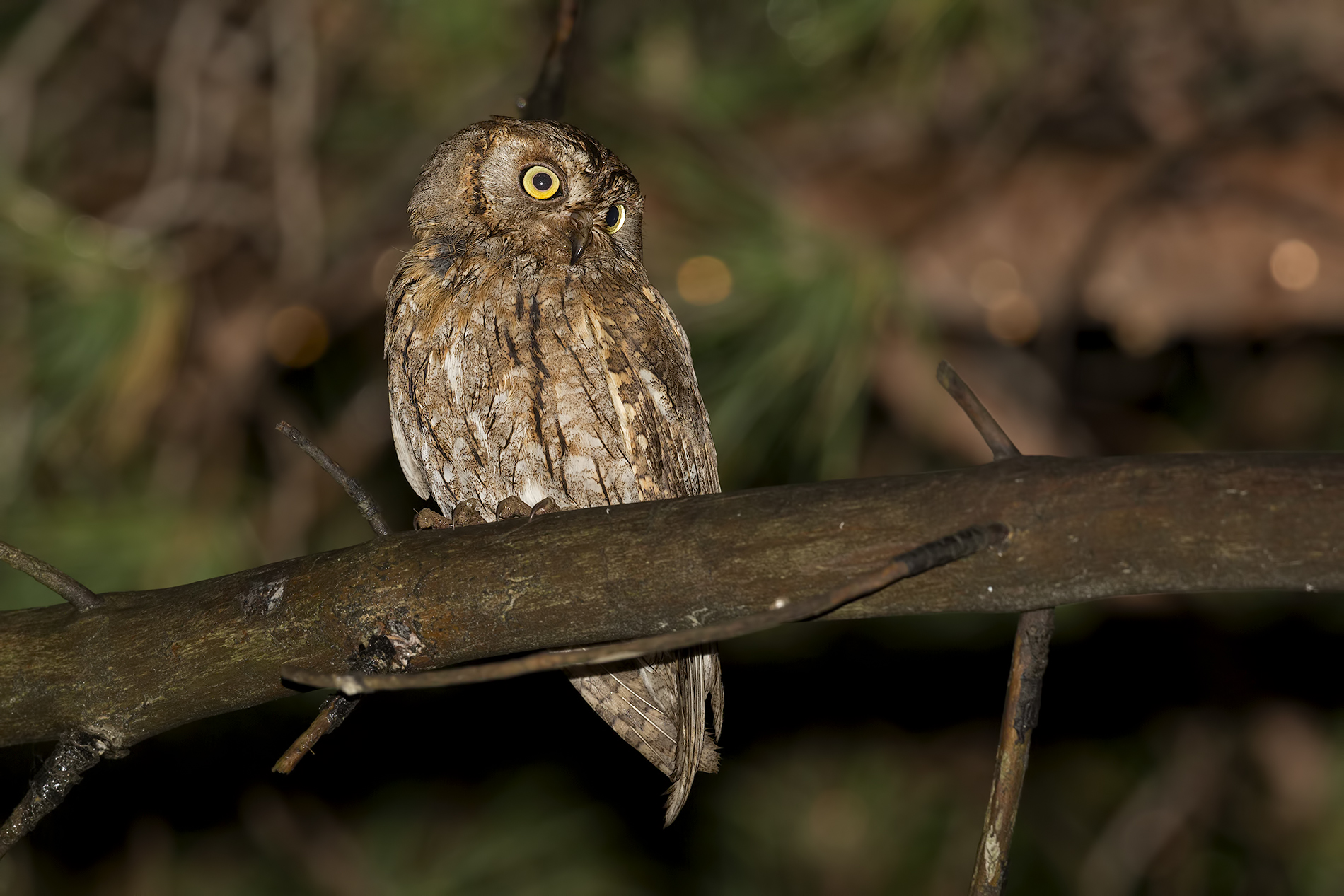 Scops Owl...