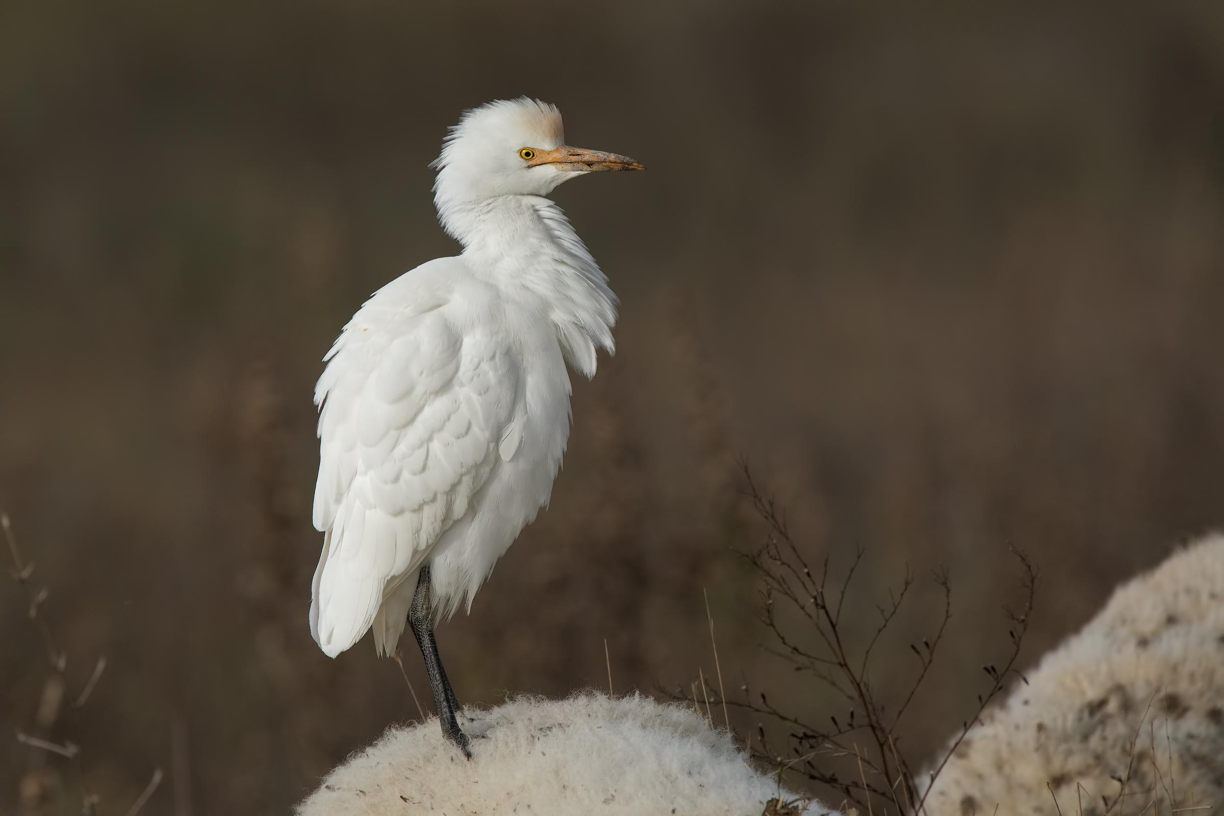 Cattle Egret (Bubulcus ibis)...