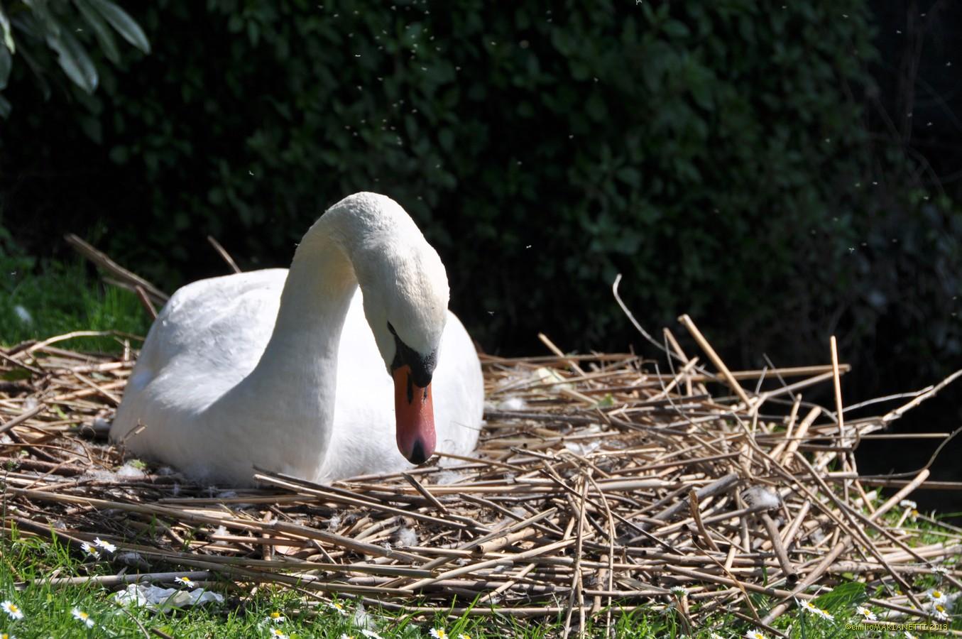 Swan-Lake Garda...