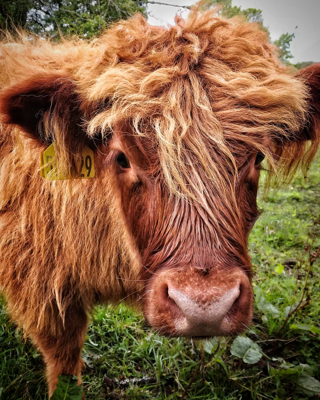 Mucca scozzese...