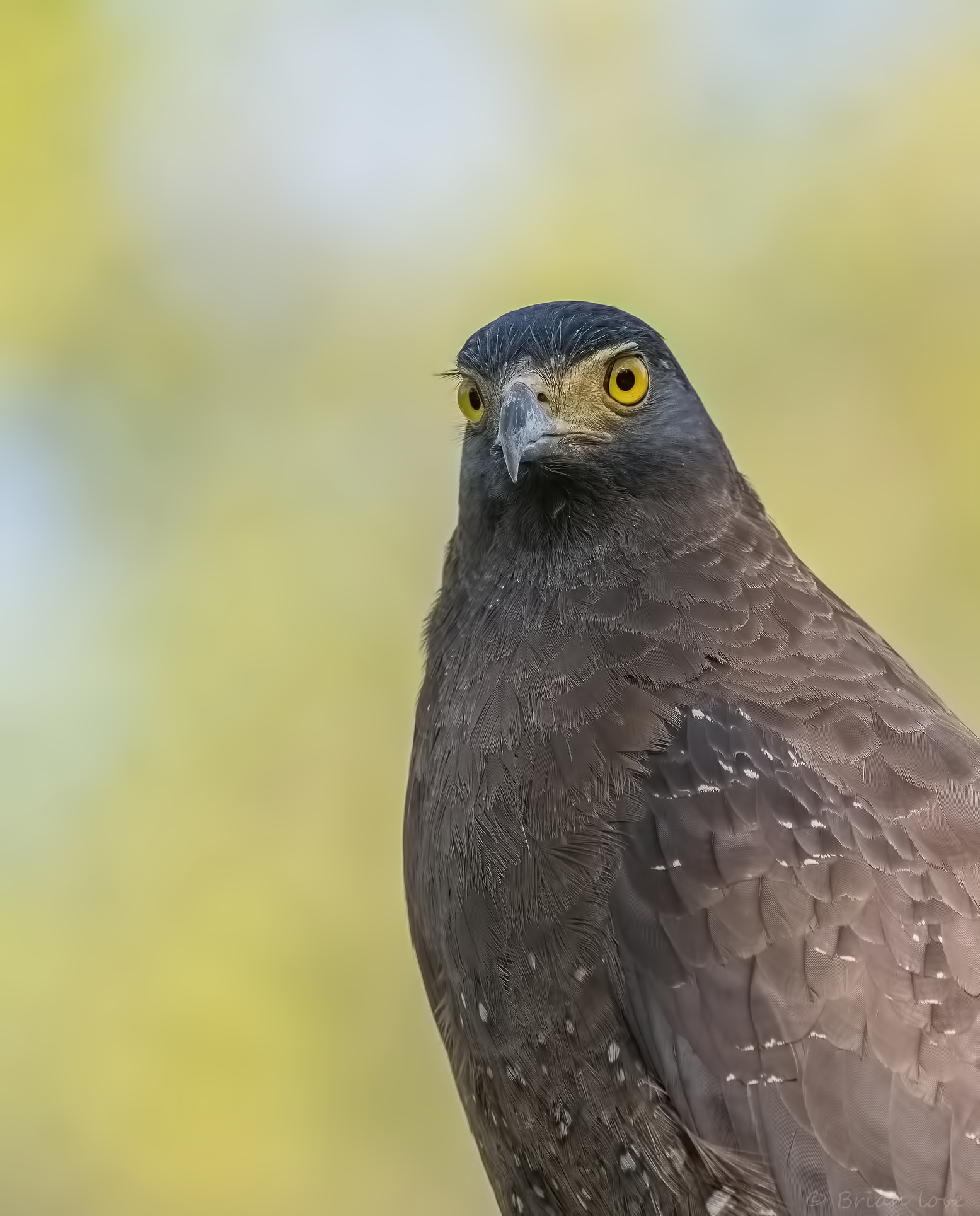 Crested Serpent Eagle Female(Spilornis cheela)...
