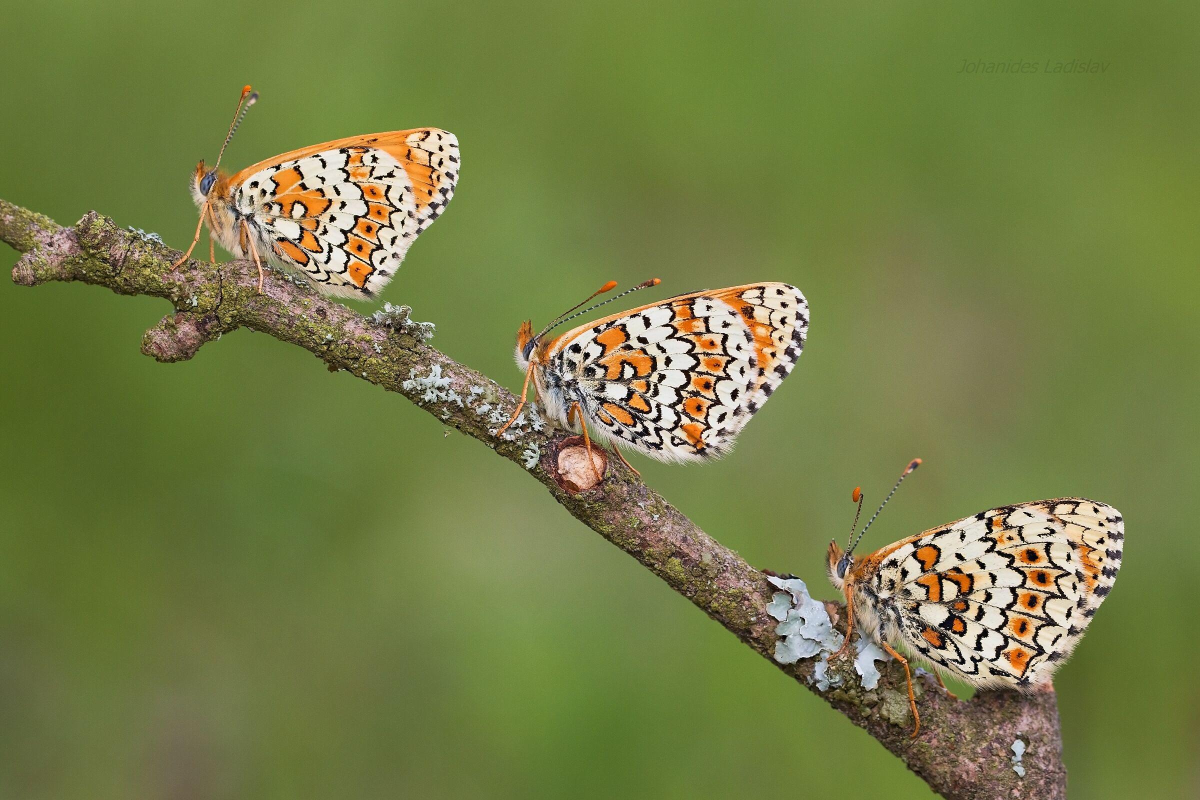 Melitaea cinxia (male,female,female 2 (nature)...