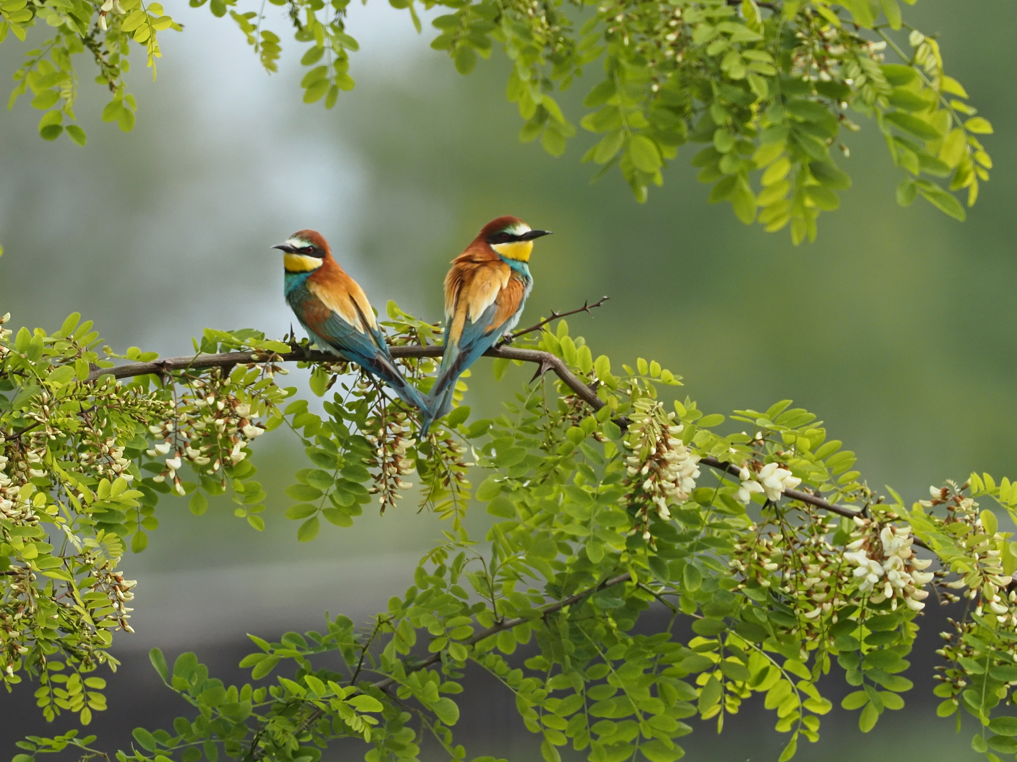 Bee-Eaters arrived ...