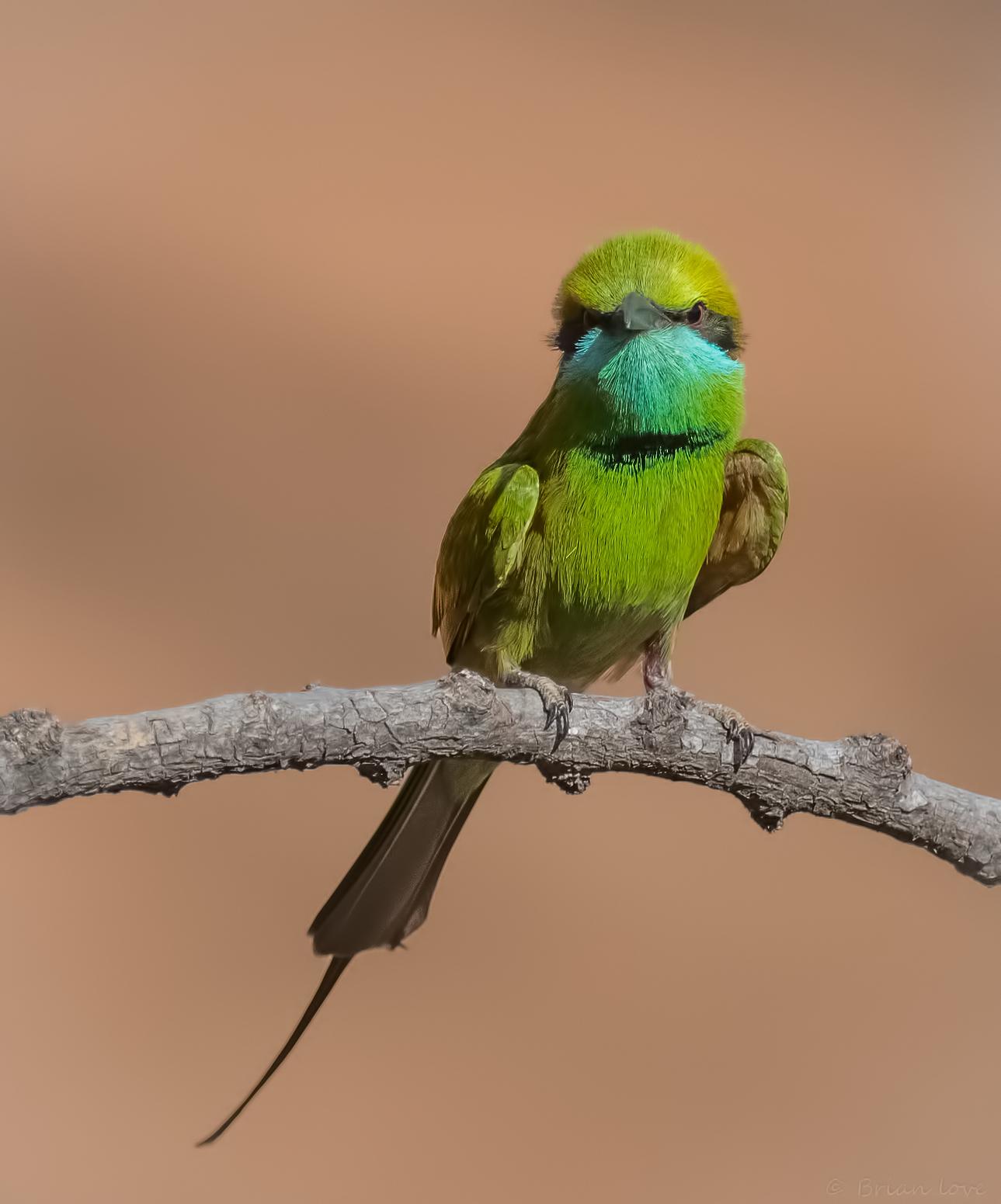 Little Green Bee-eater(Merops orientalis)...