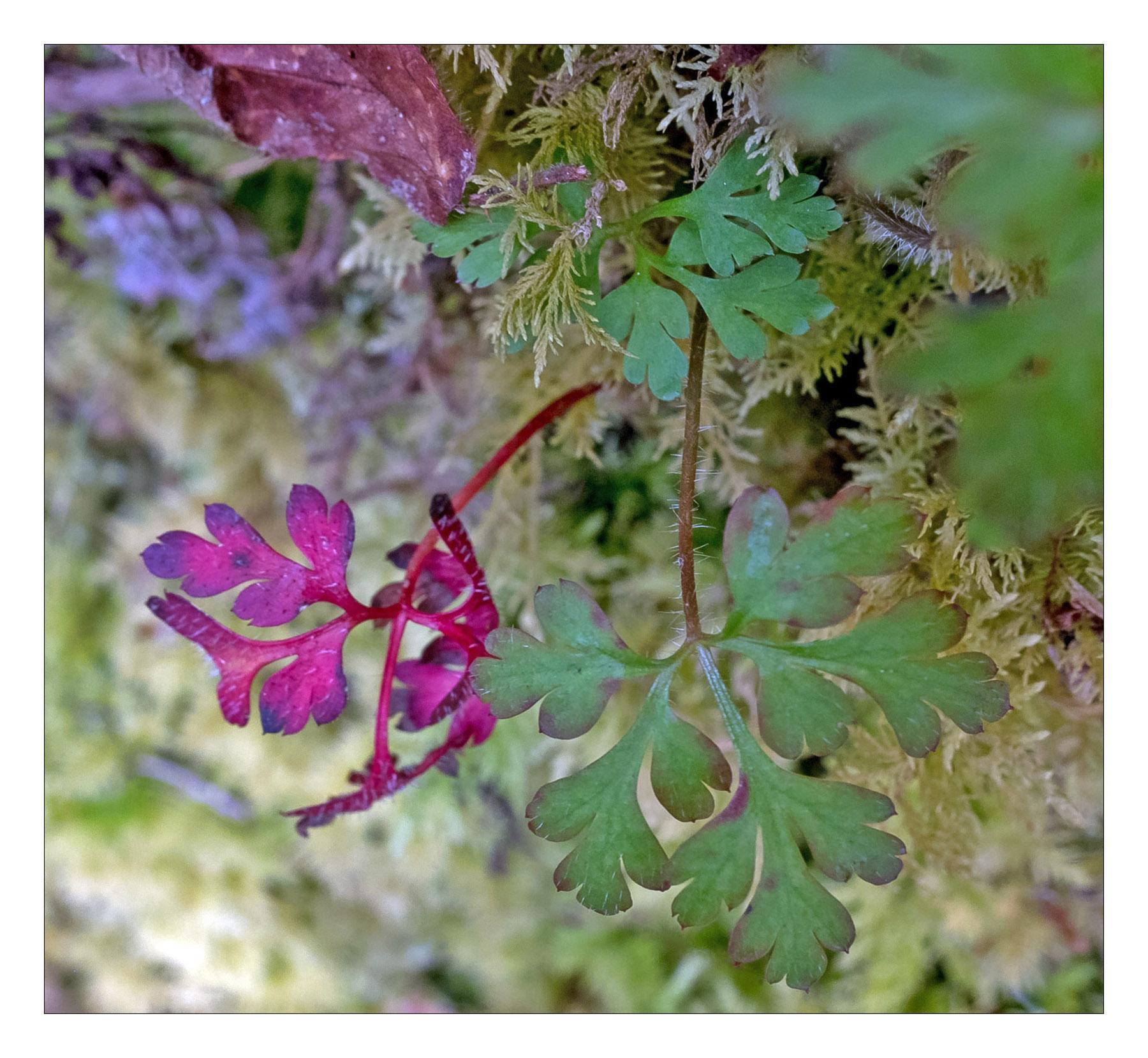 Geranium in the Woods...