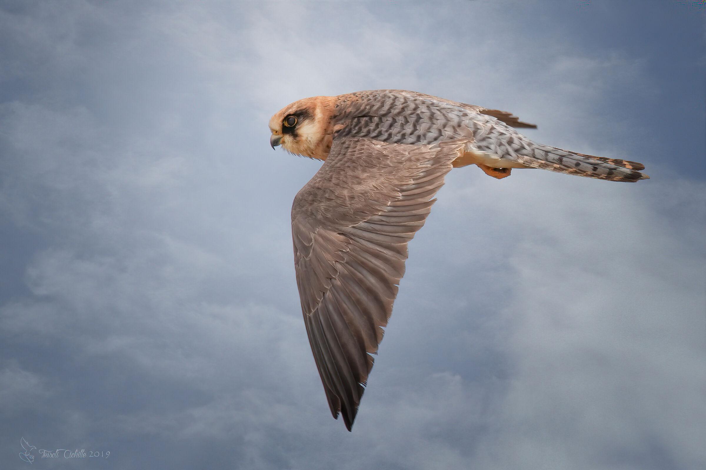 Cuckoo Hawk F....