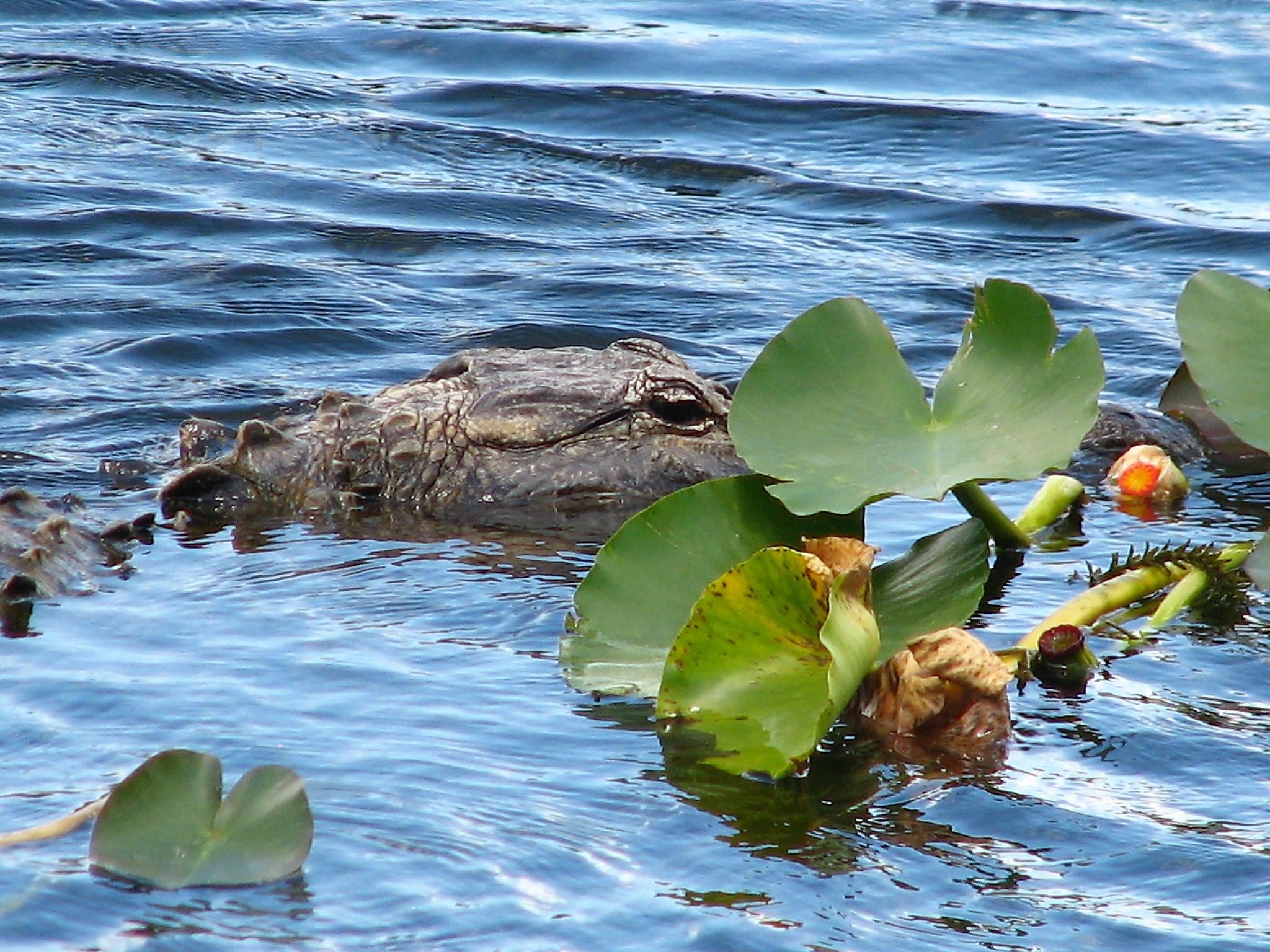 Alligatore...