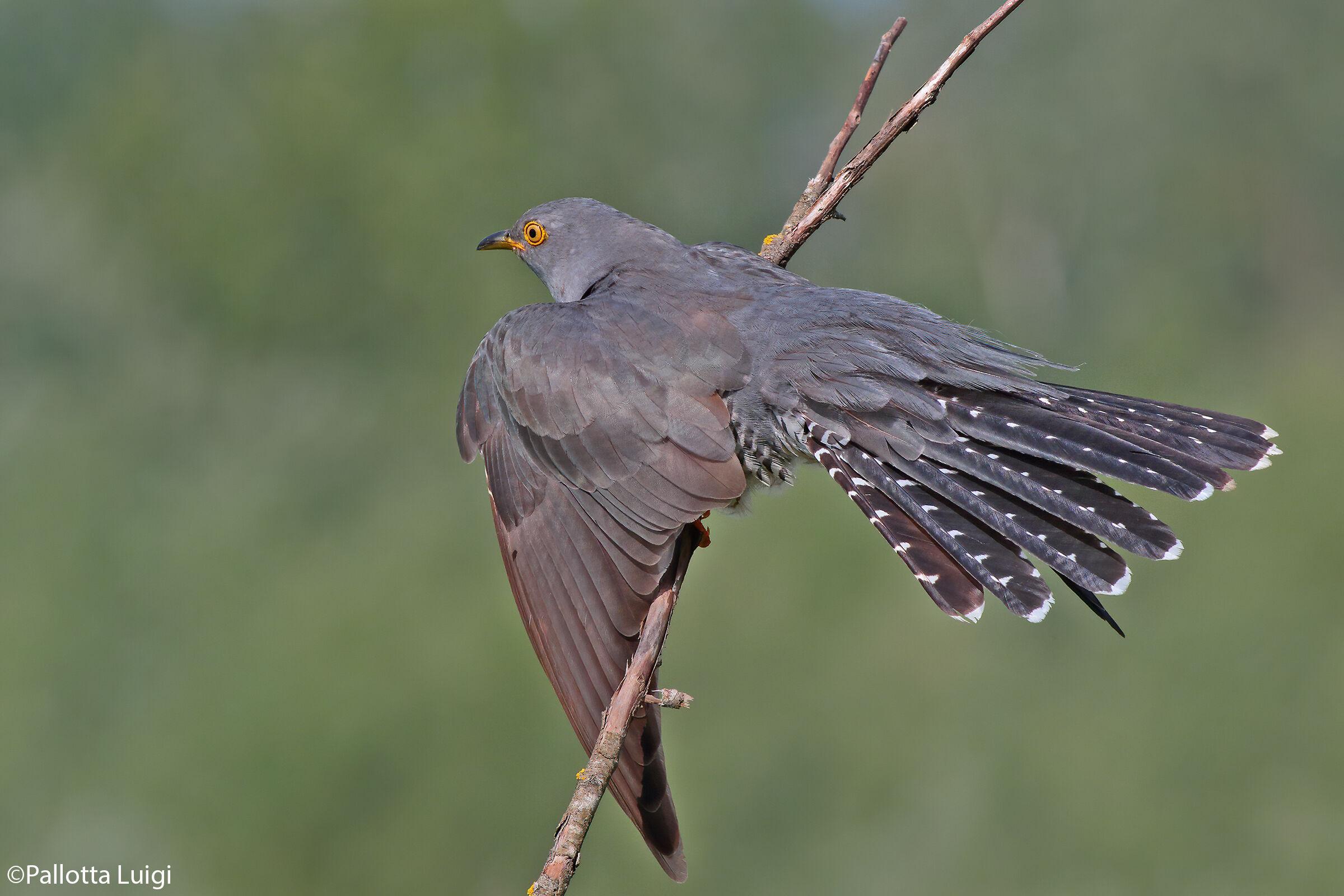 Cuckoo (Cuculus canorus) ...