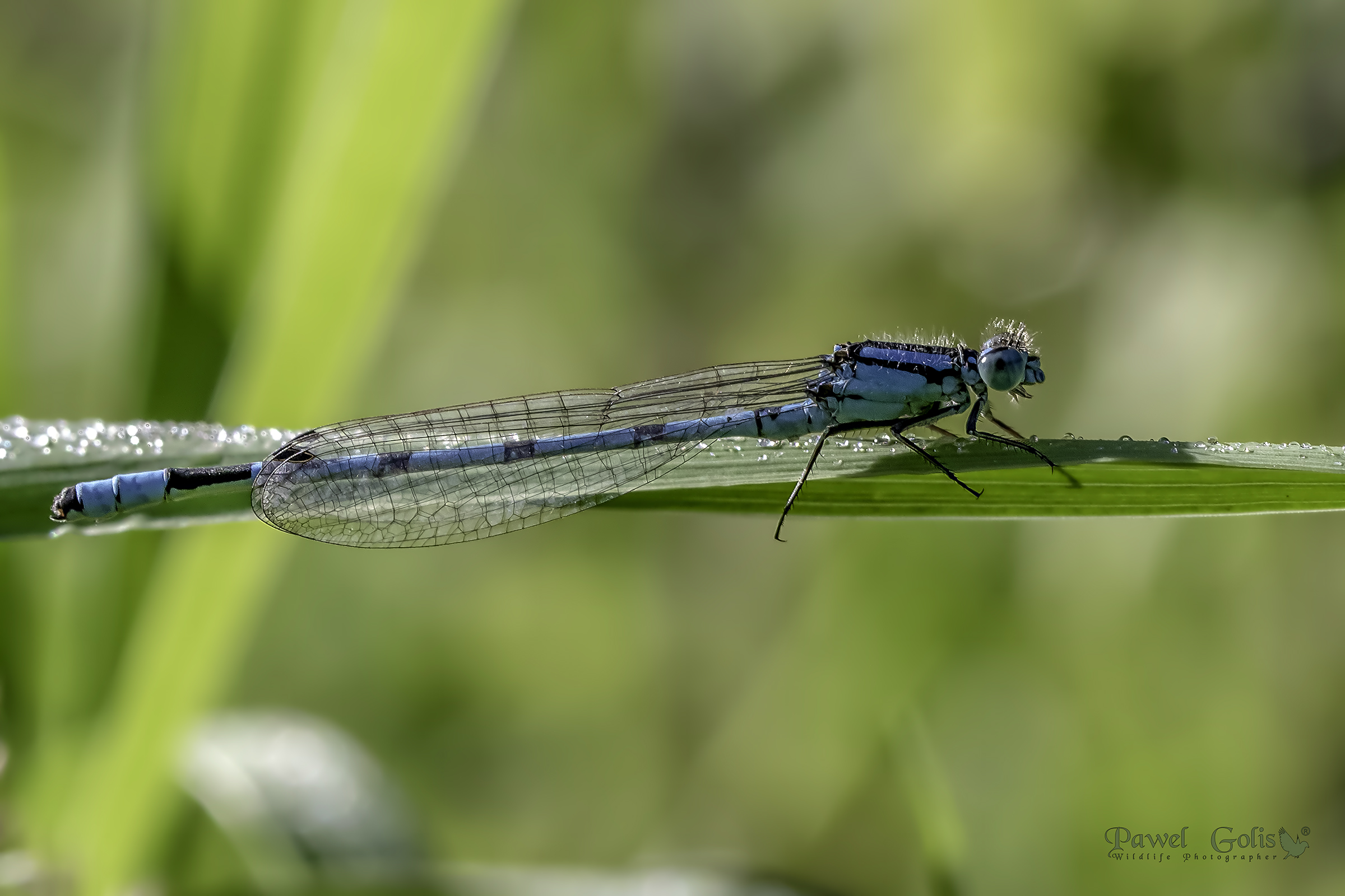 Common blue damselfly (Enallagma cyathigerum)...