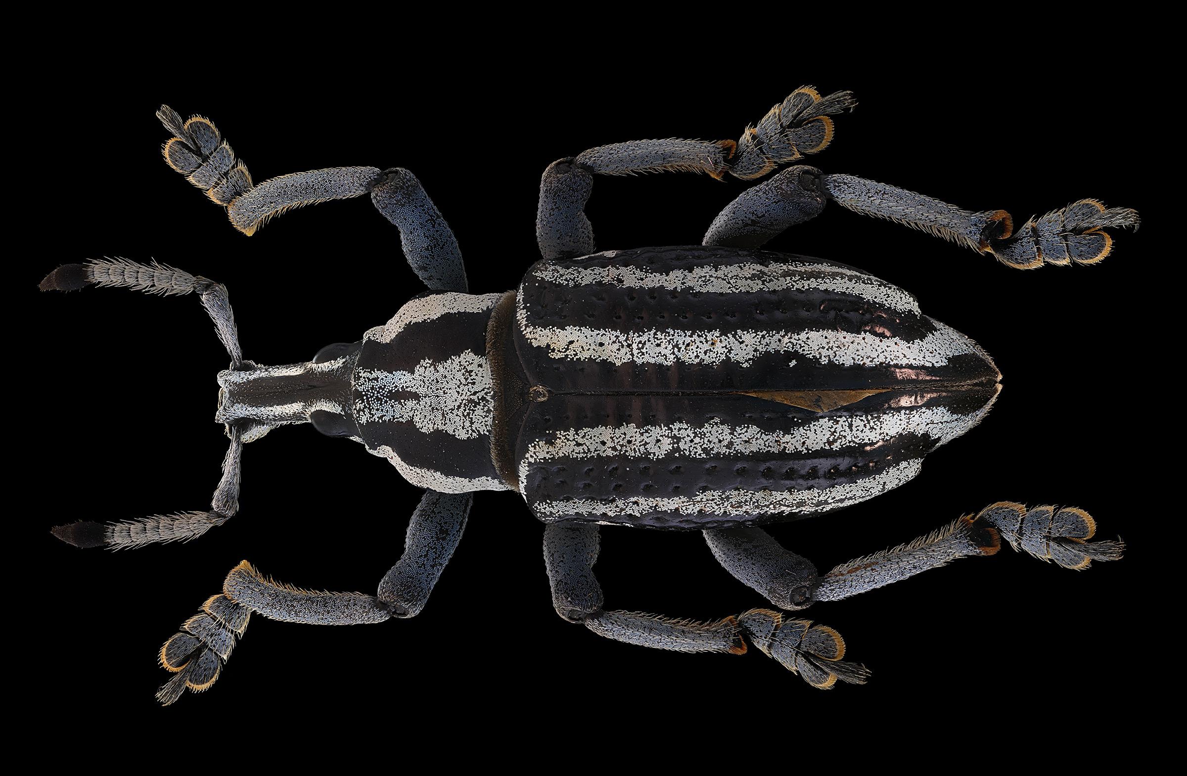 Eupholus waigeuensis var Nove...
