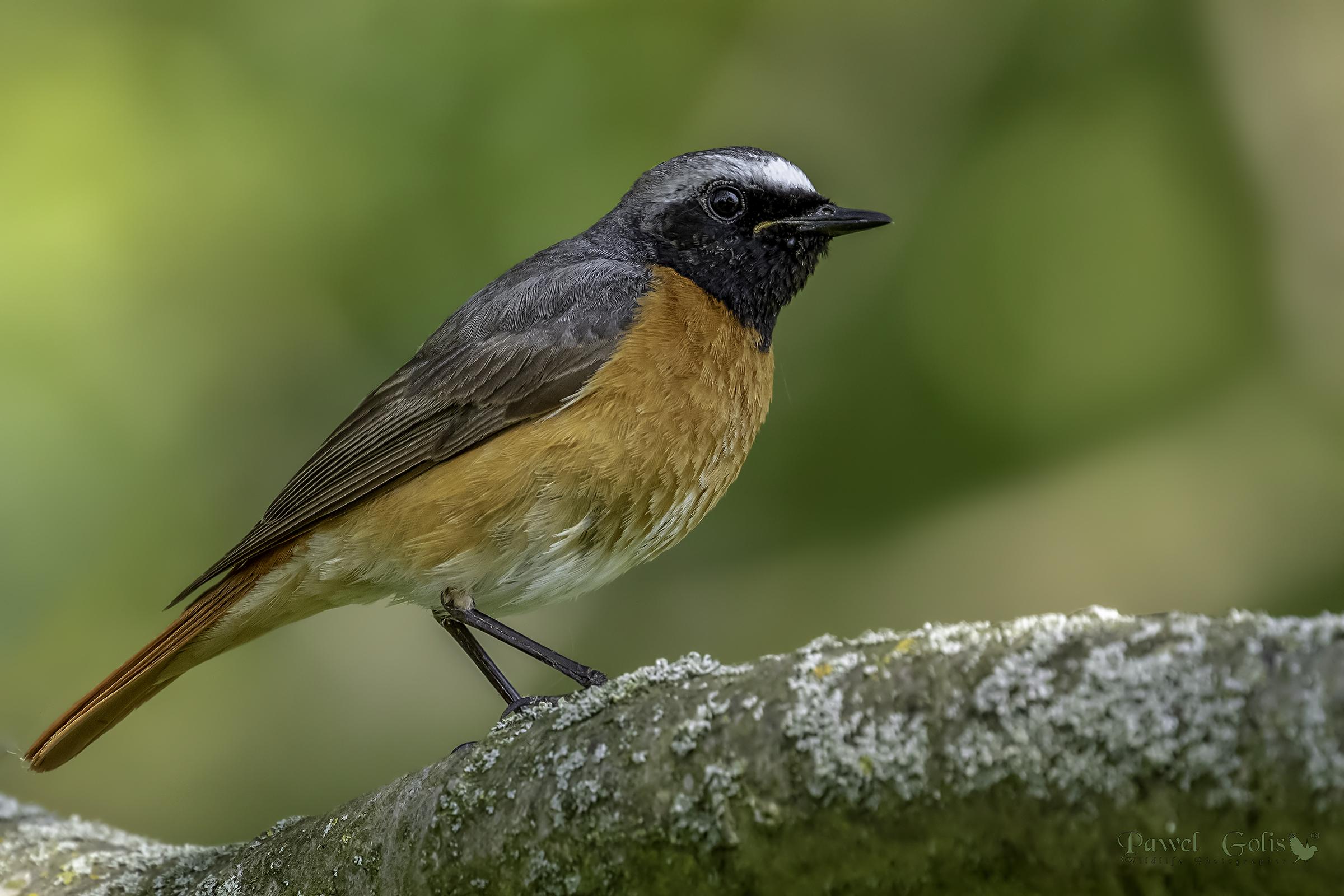 Common redstart (Phoenicurus phoenicurus)...
