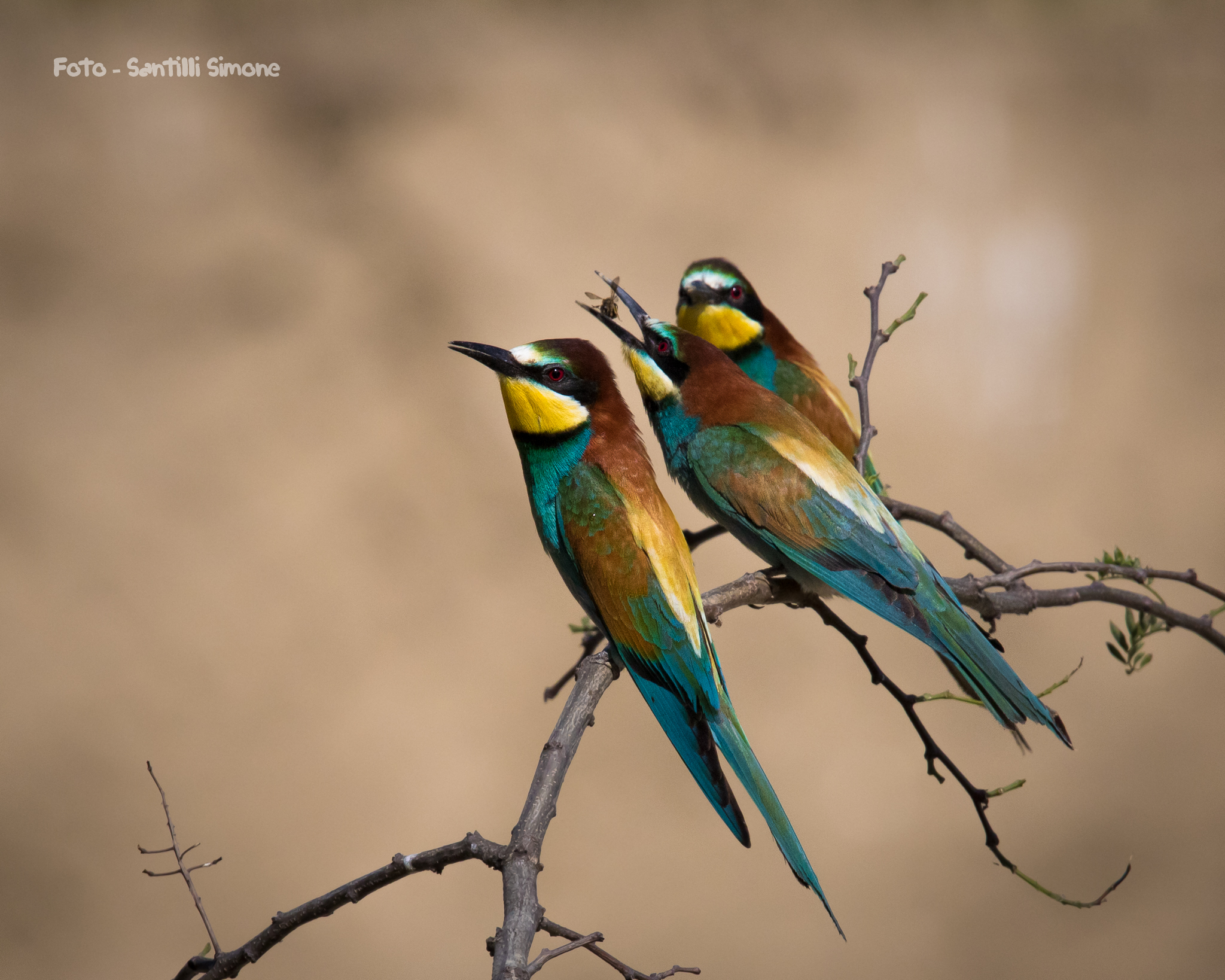 Between the two litigants the third... Eat! -Bee-eaters...