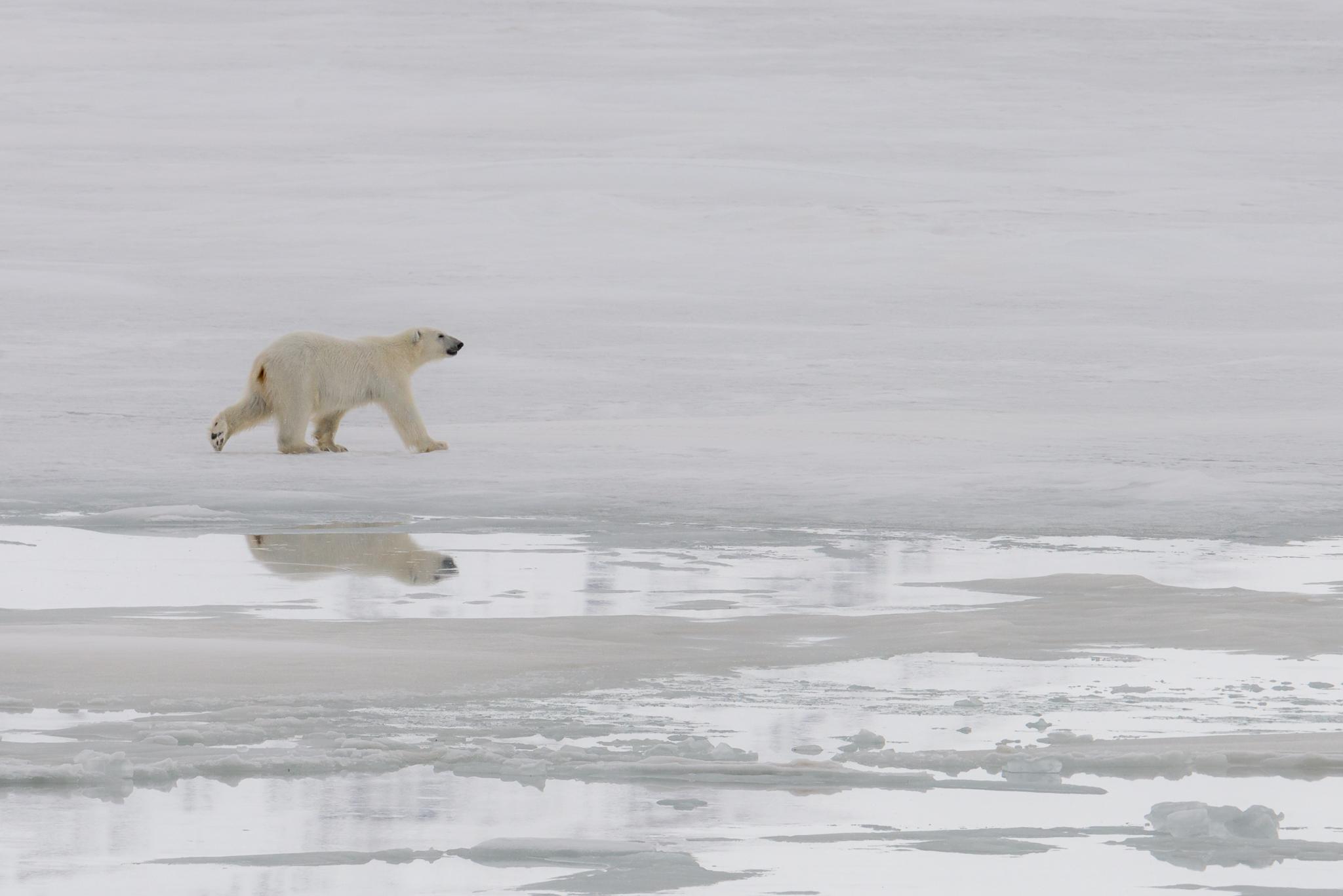 Polar Teddy Bear...