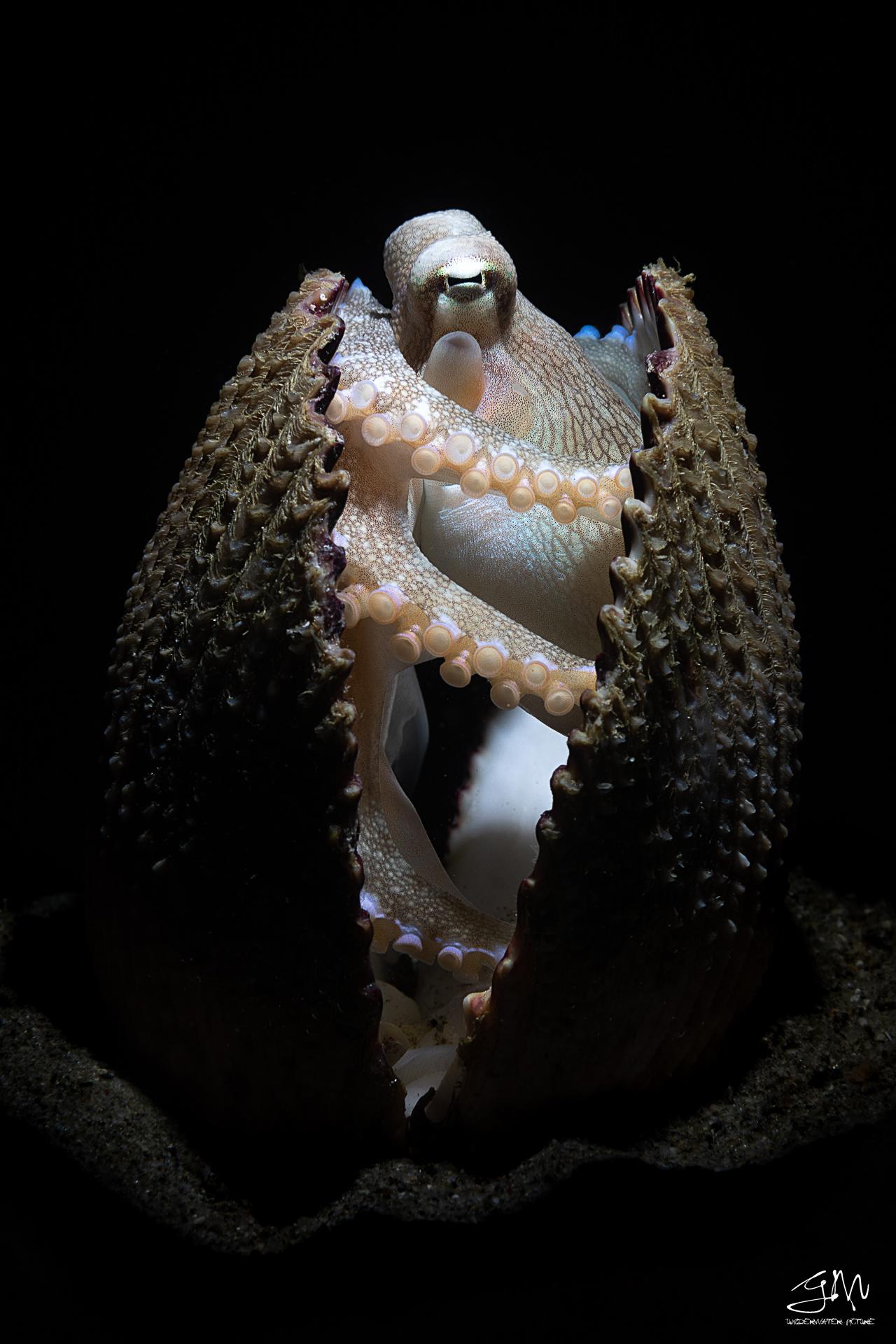 Amphioctopus marginatus...