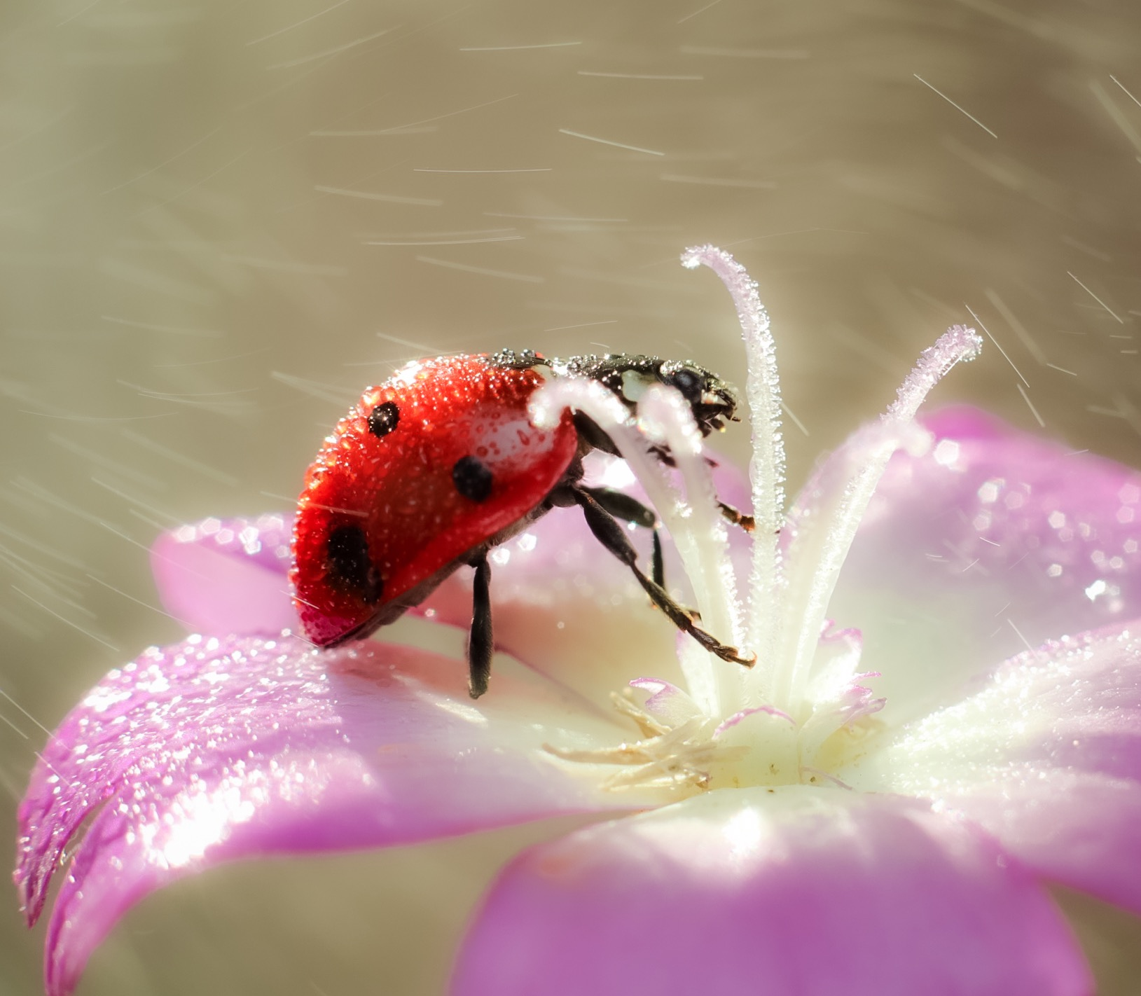 Ladybug in the Rain ...