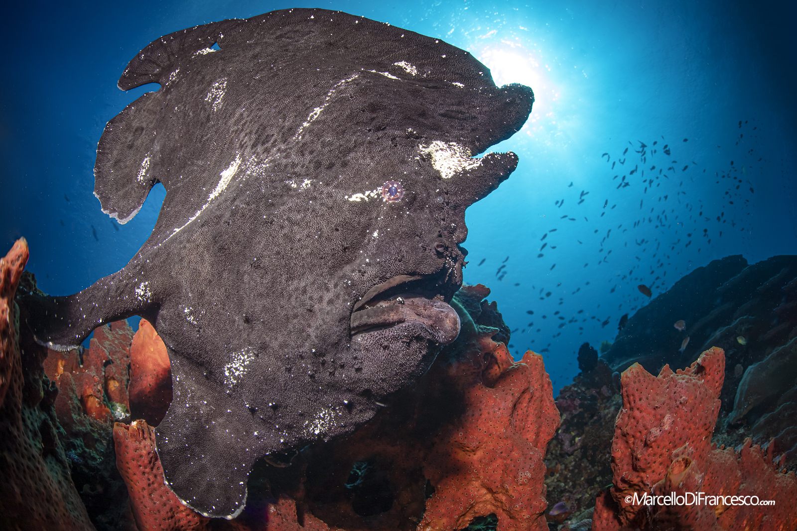 Black Frogfish Portrait ...
