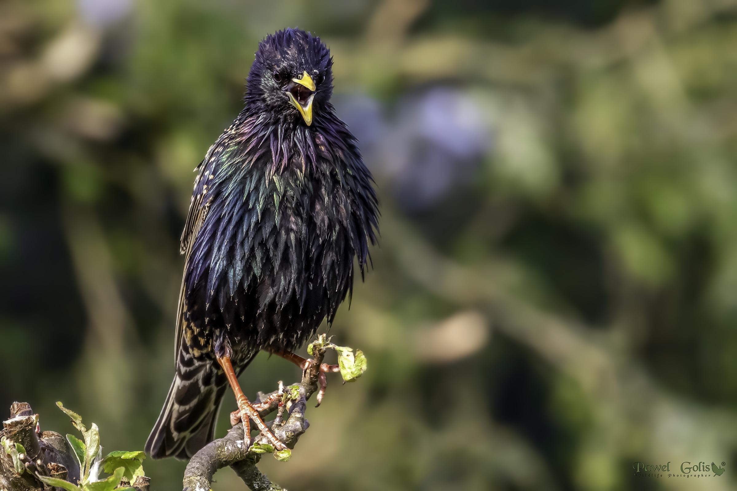Common starling (Sturnus vulgaris)...