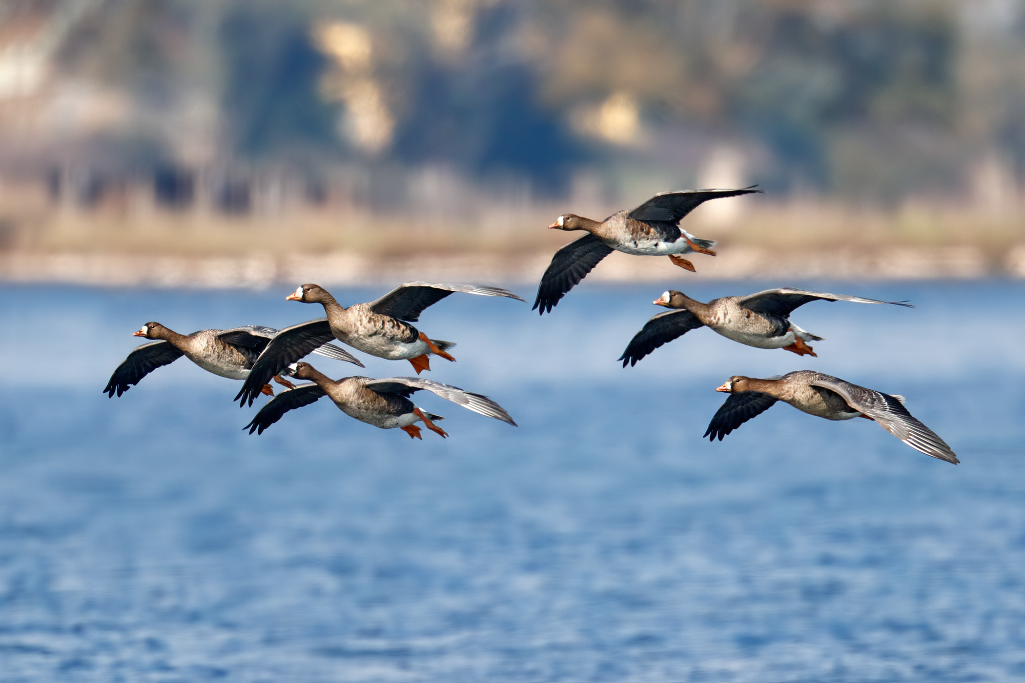 Lombard geese...