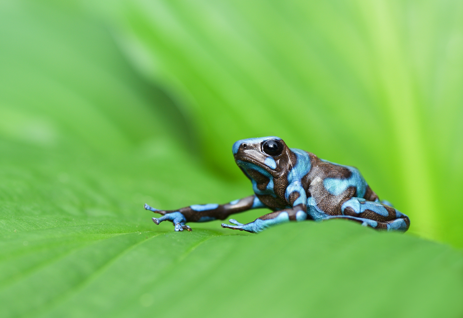 Frog from a Costa Rica- Dendrobates auratus...