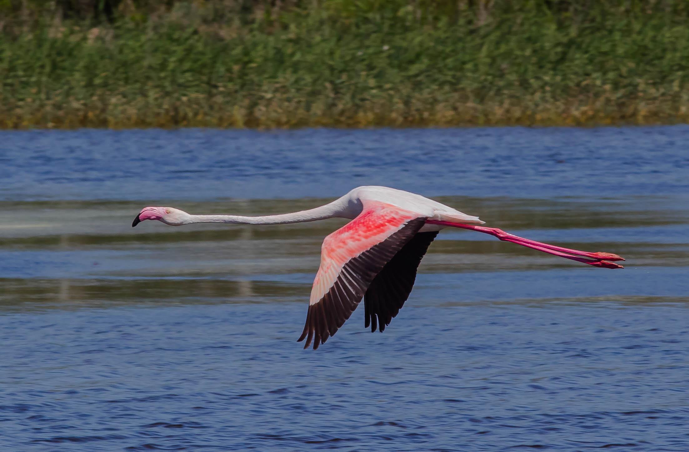 The Flamingos flight...