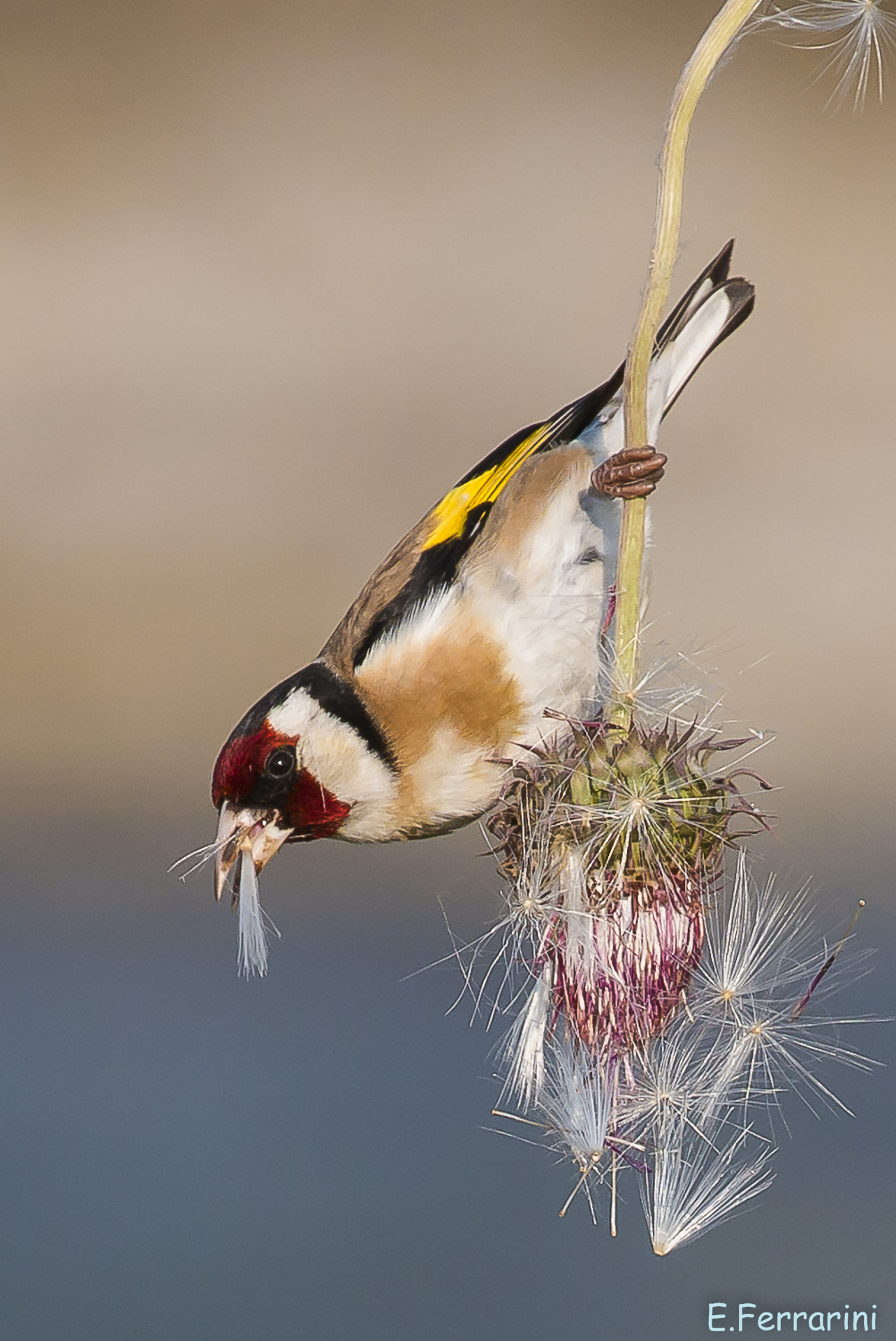 Goldfinch on Thistle...